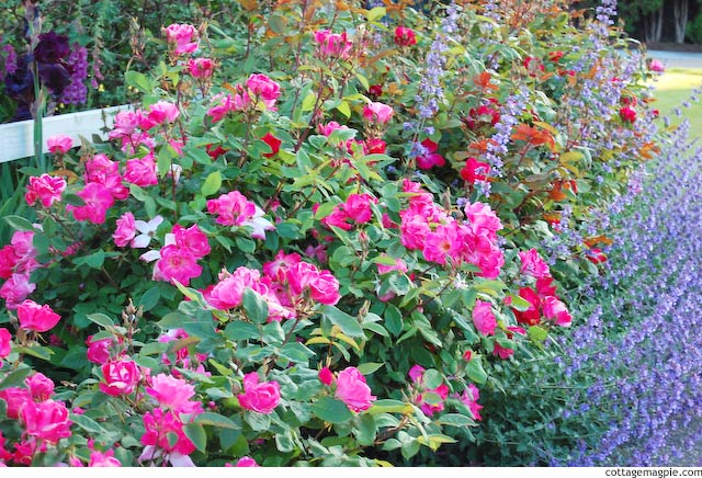 Knock Out Rose Hedge via cottagemagpie.com