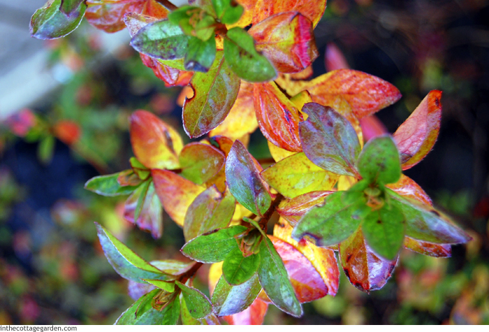Autumn Color Azalea Foliage