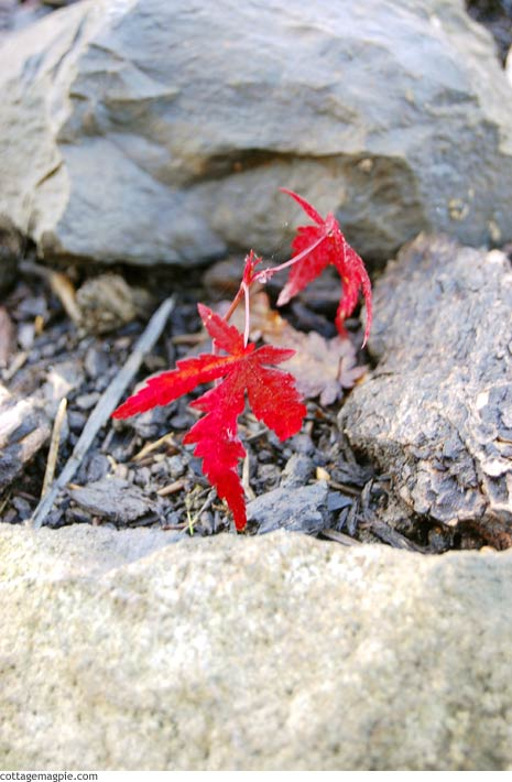 Japanese Maple Seedling