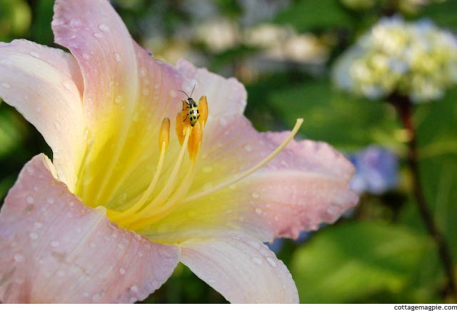 Hall's Pink Daylily and Tiny Beetle