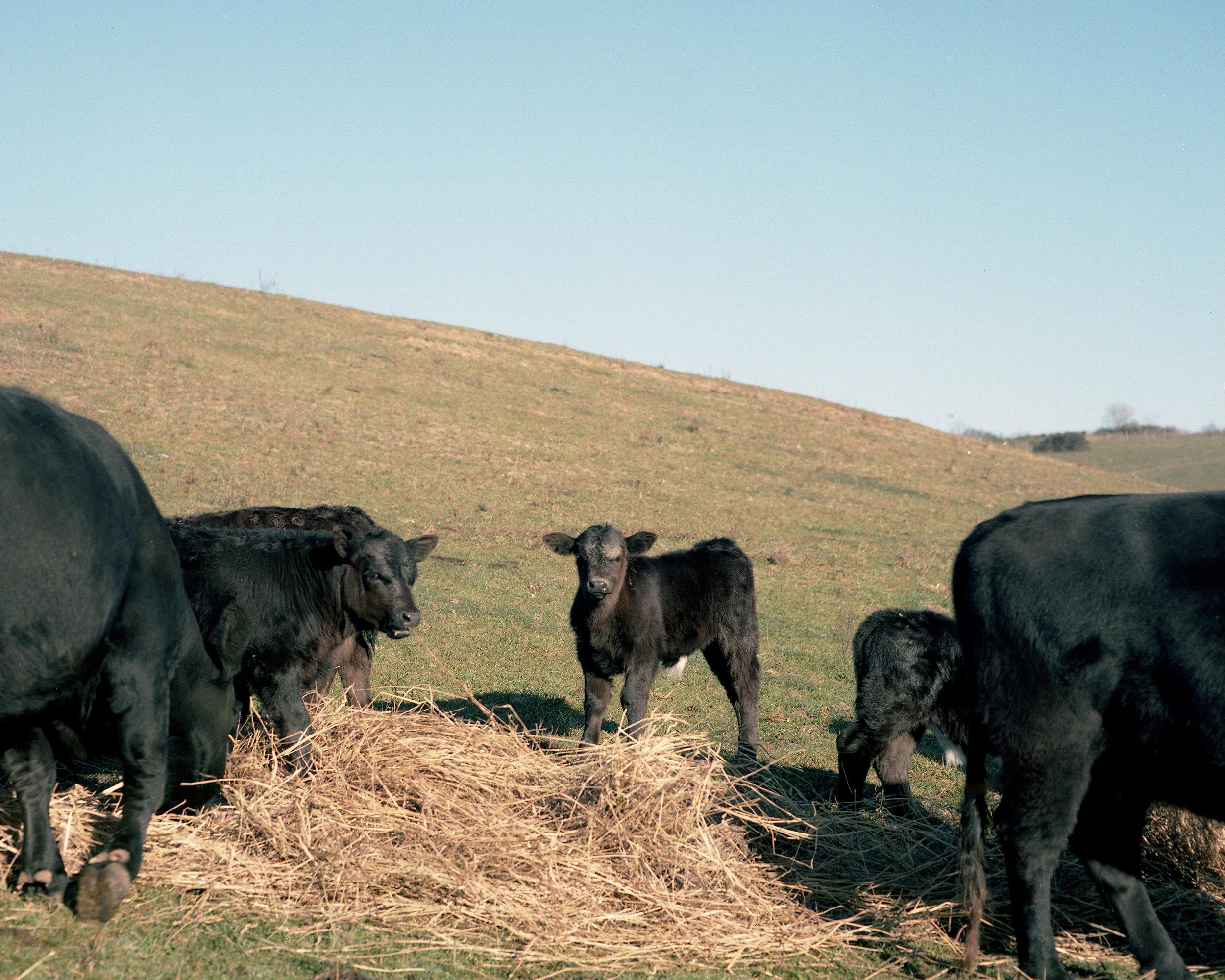 Calf at Feeding Time