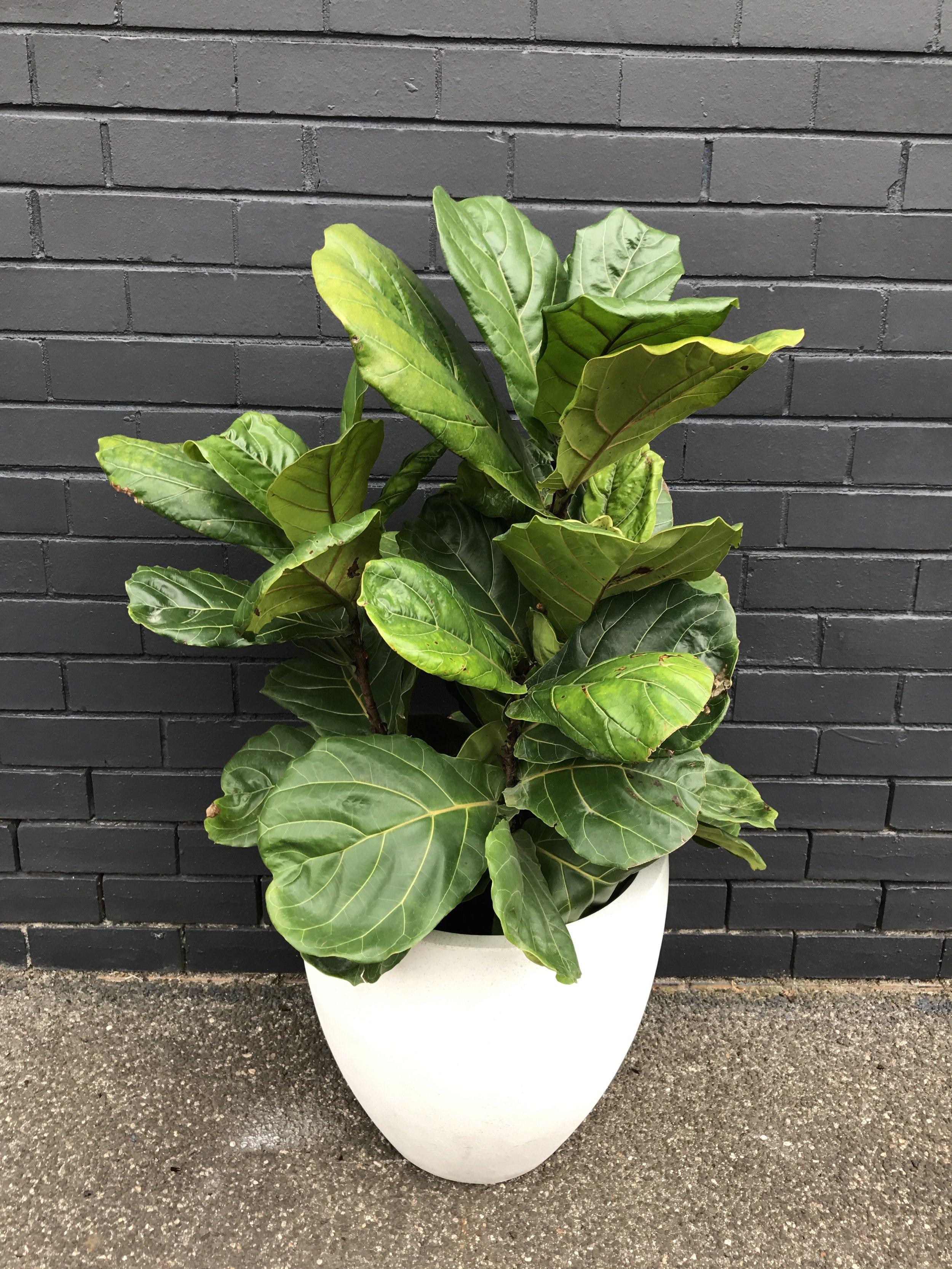 'Fiddle Leaf Fig' Ficus Lyrata
