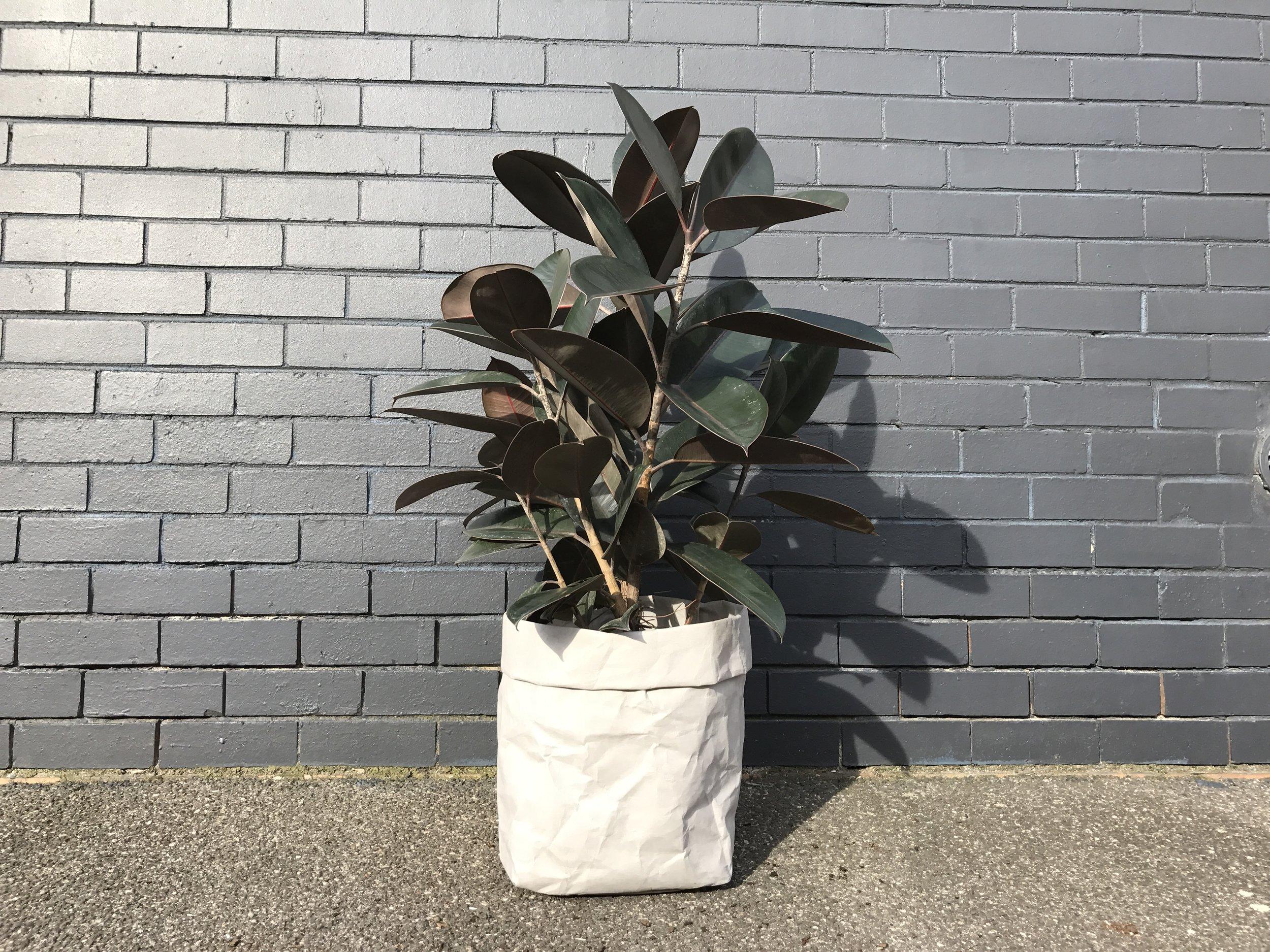 'Burgundy Rubber Plant' Ficus Elastica