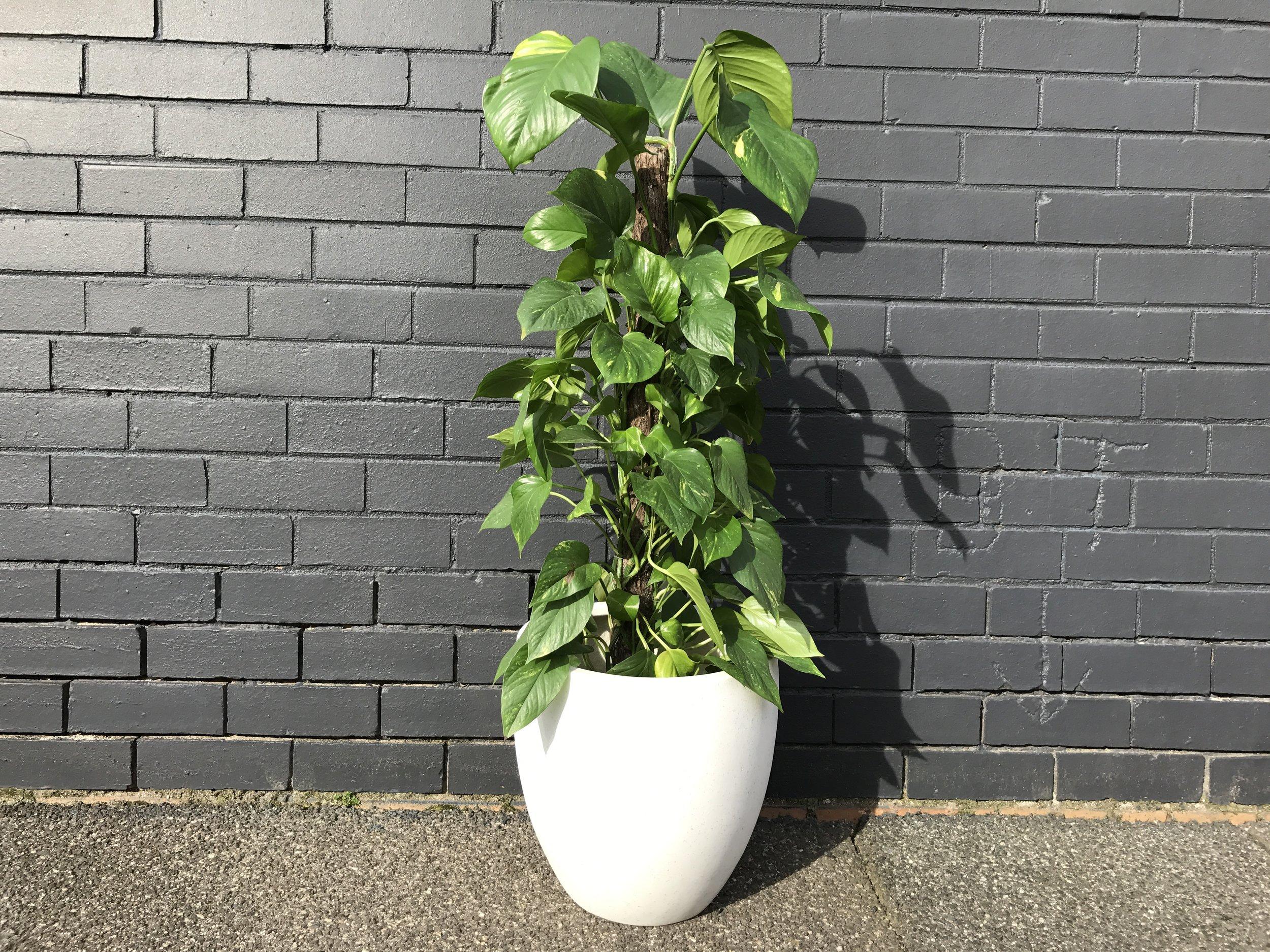 'Devils Ivy Totum' Golden Pothos