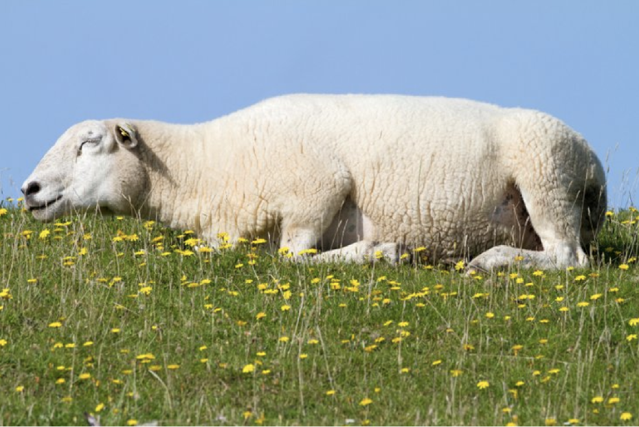 A blissed out sheep