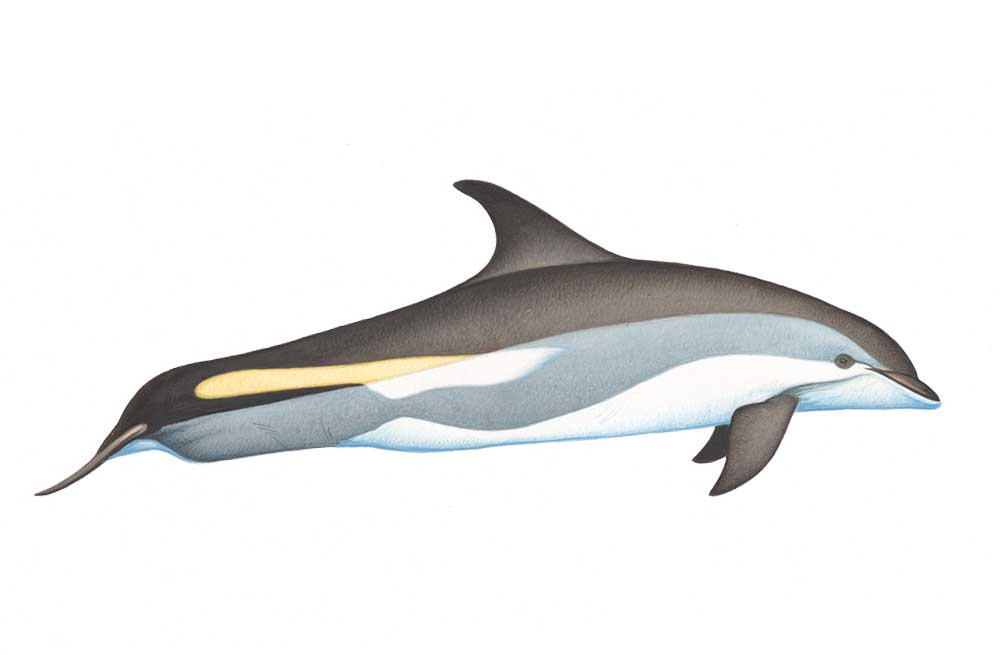 AtlanticDolphin-Illustration.jpg