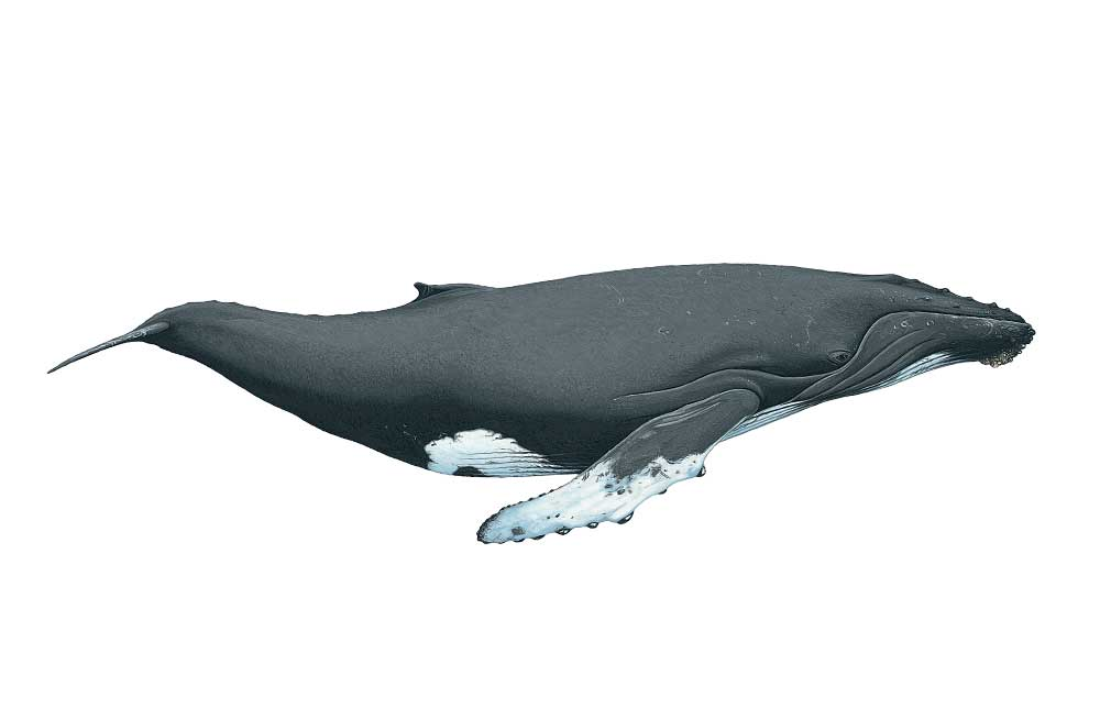 Humpback-Illustration.jpg