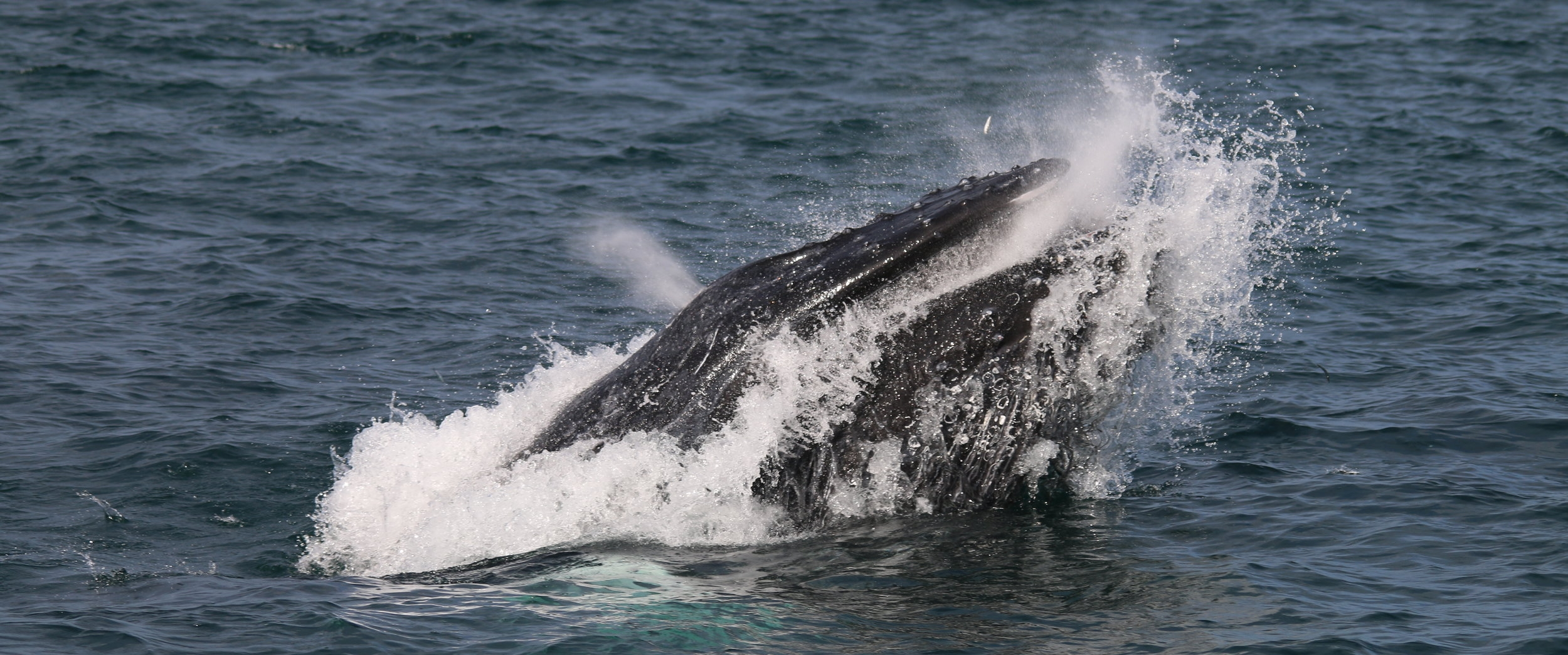 The humpback whale lunge feeding, an effective technique for consuming large amounts of prey!