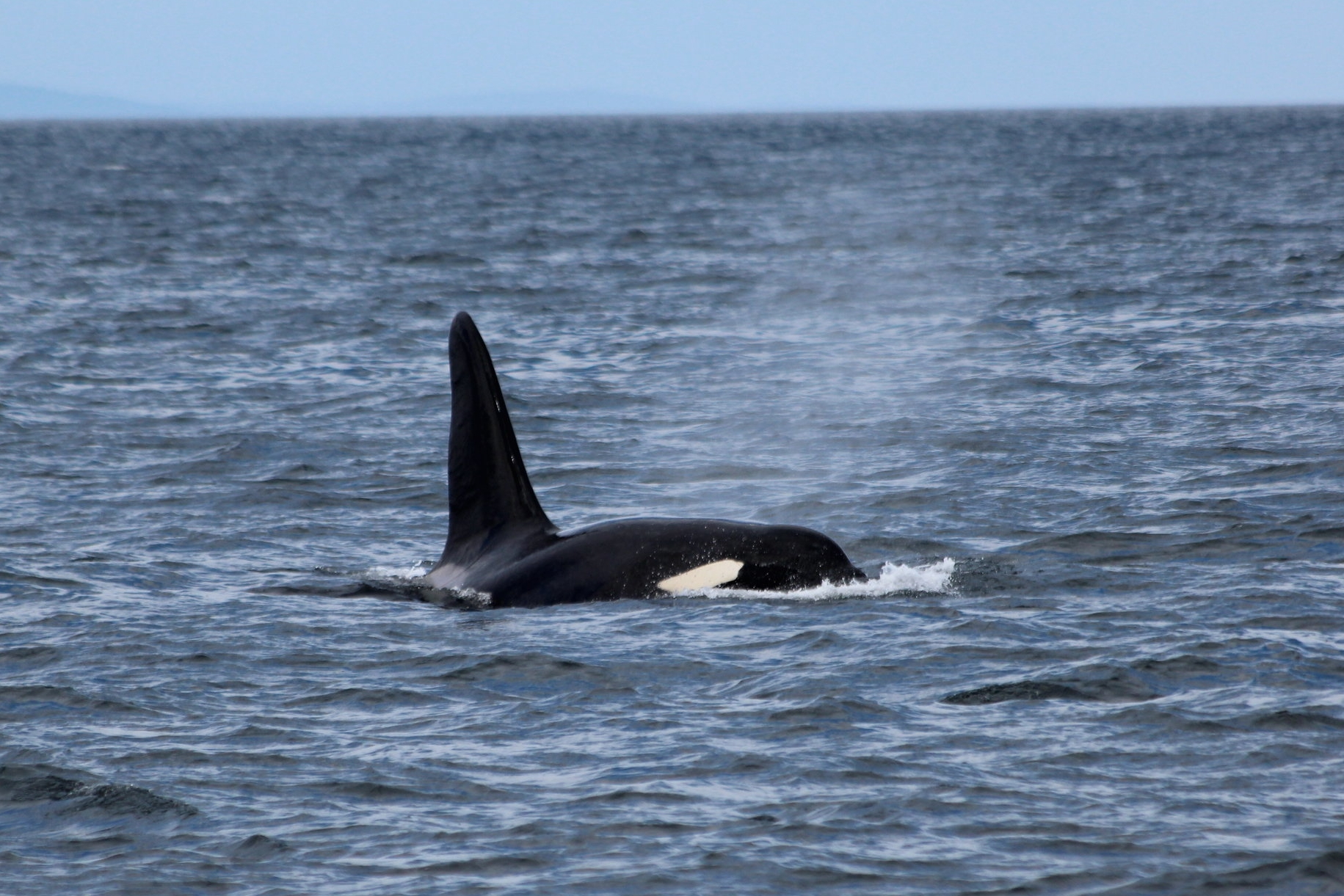 A maximum of eight killer whales now remain in unique West Coast Community Pod.