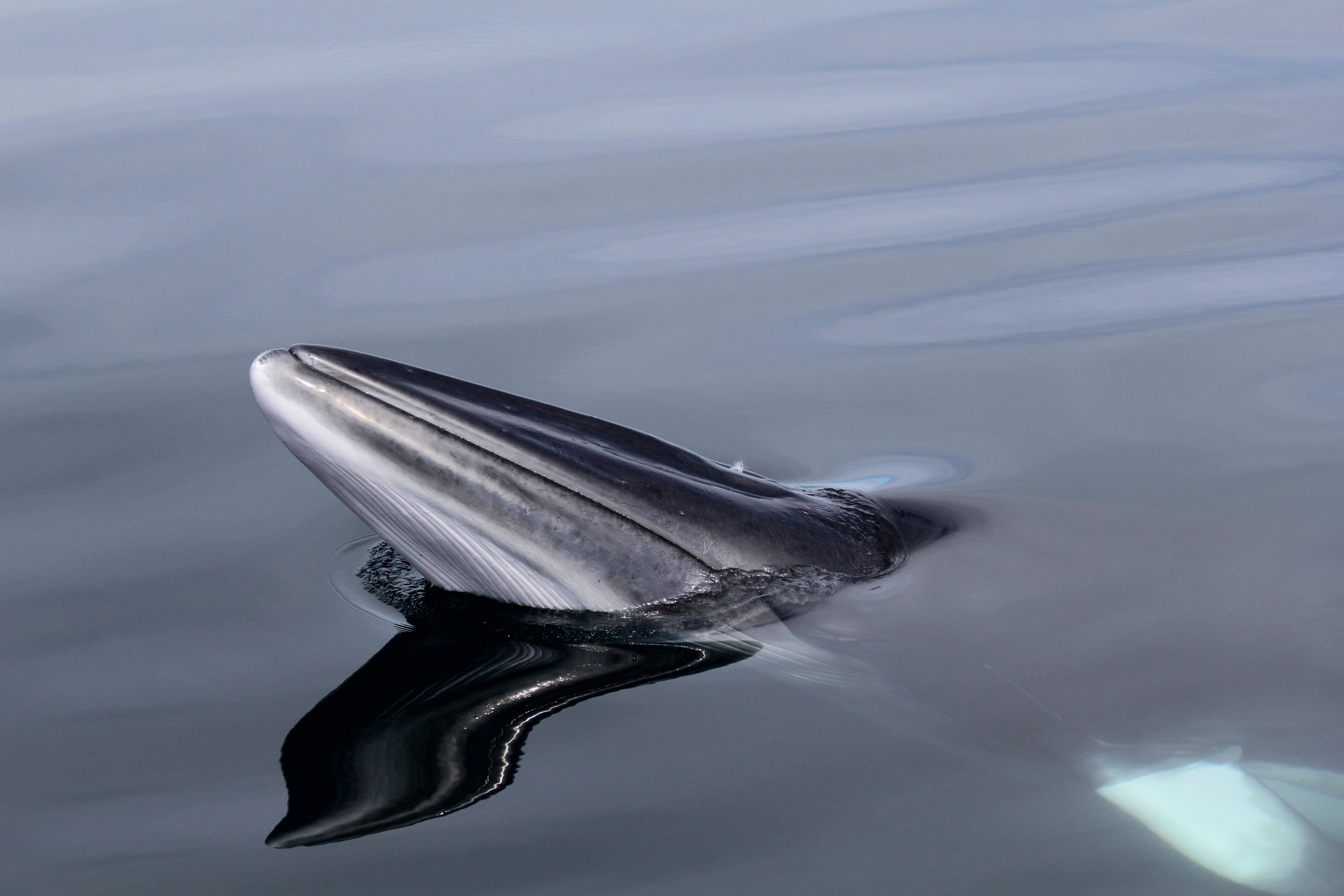 A minke whale spotted by Silurian crew