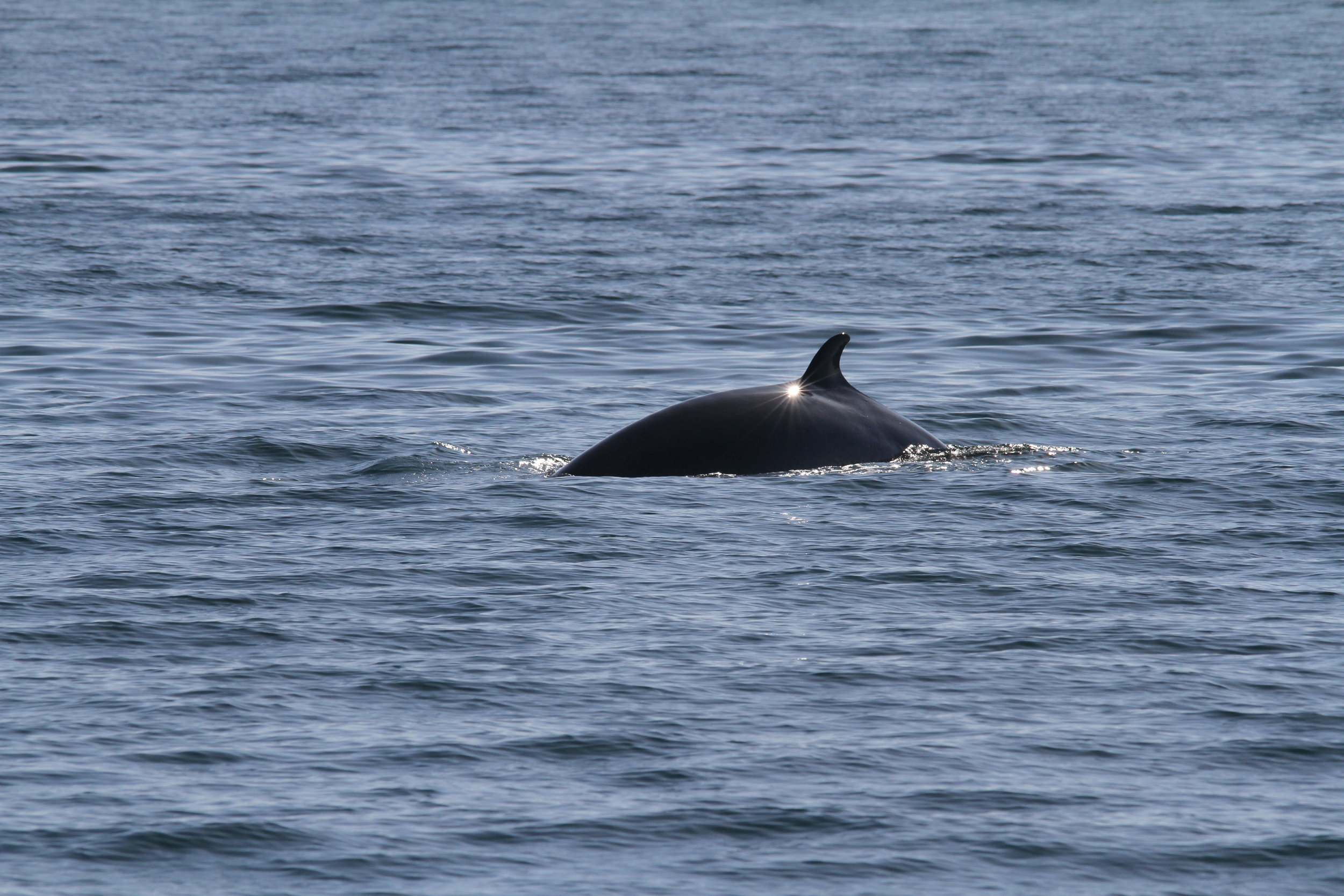 We had to wait until the end of the survey for a minke whale sighting, but what a fantastic sighting it was when one finally did pop up!