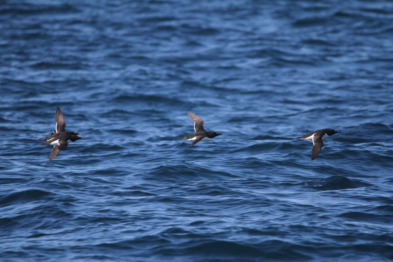 Four of the 1,073 razorbills seen on day four of the survey