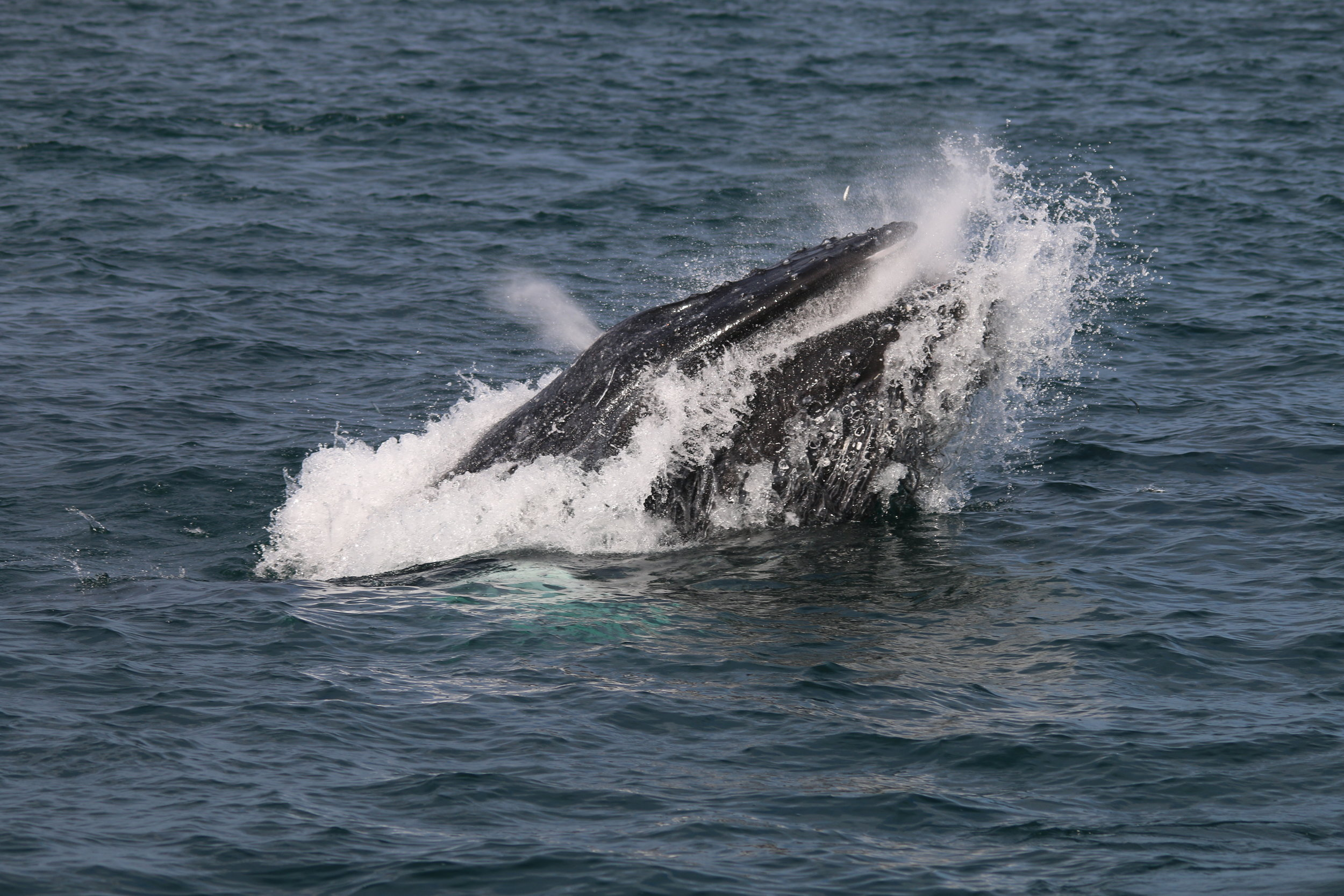 An incredible snapshot of a humpback whale lunge feeding