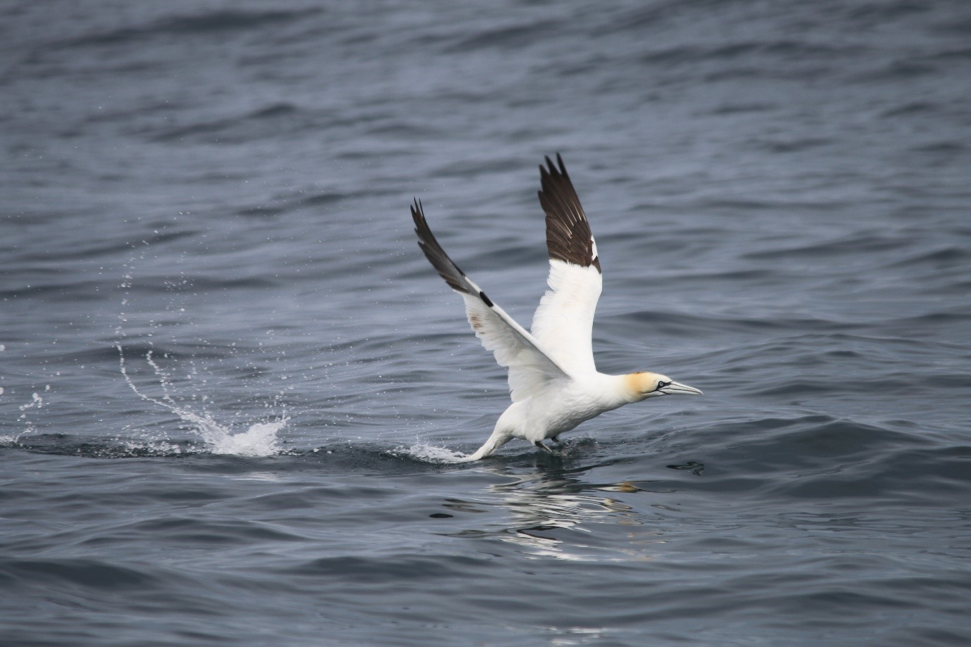 One of the hundreds of gannets seen on HWDT 4