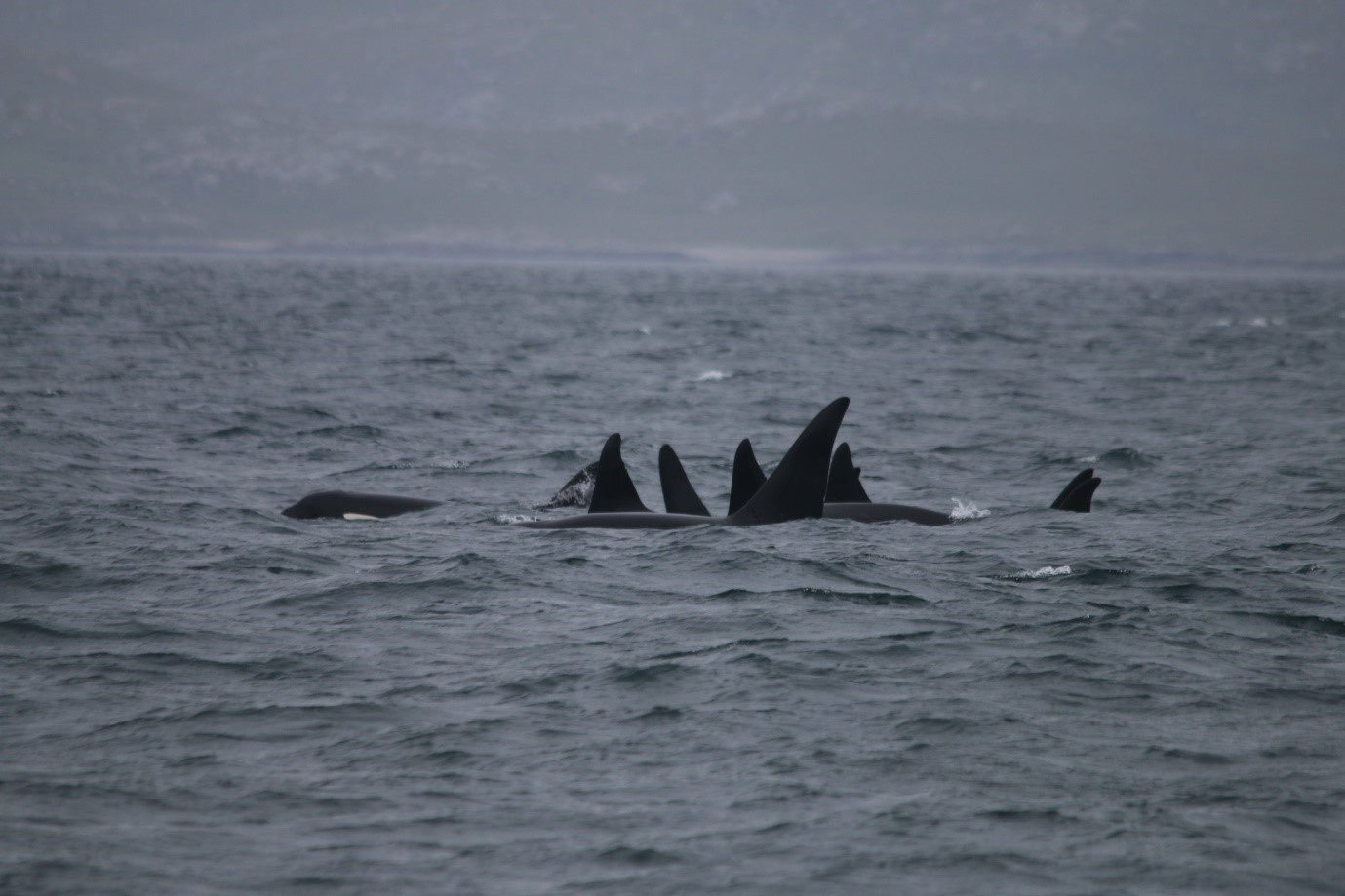 All nine killer whales surfacing in unison - what a sight!