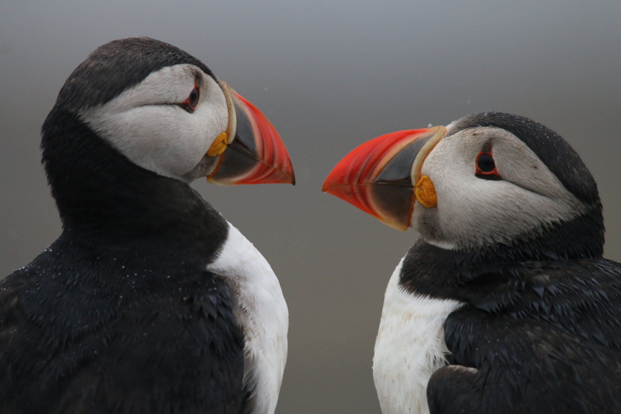 One of over 2,000 pairs of puffins nesting on the island of Lunga