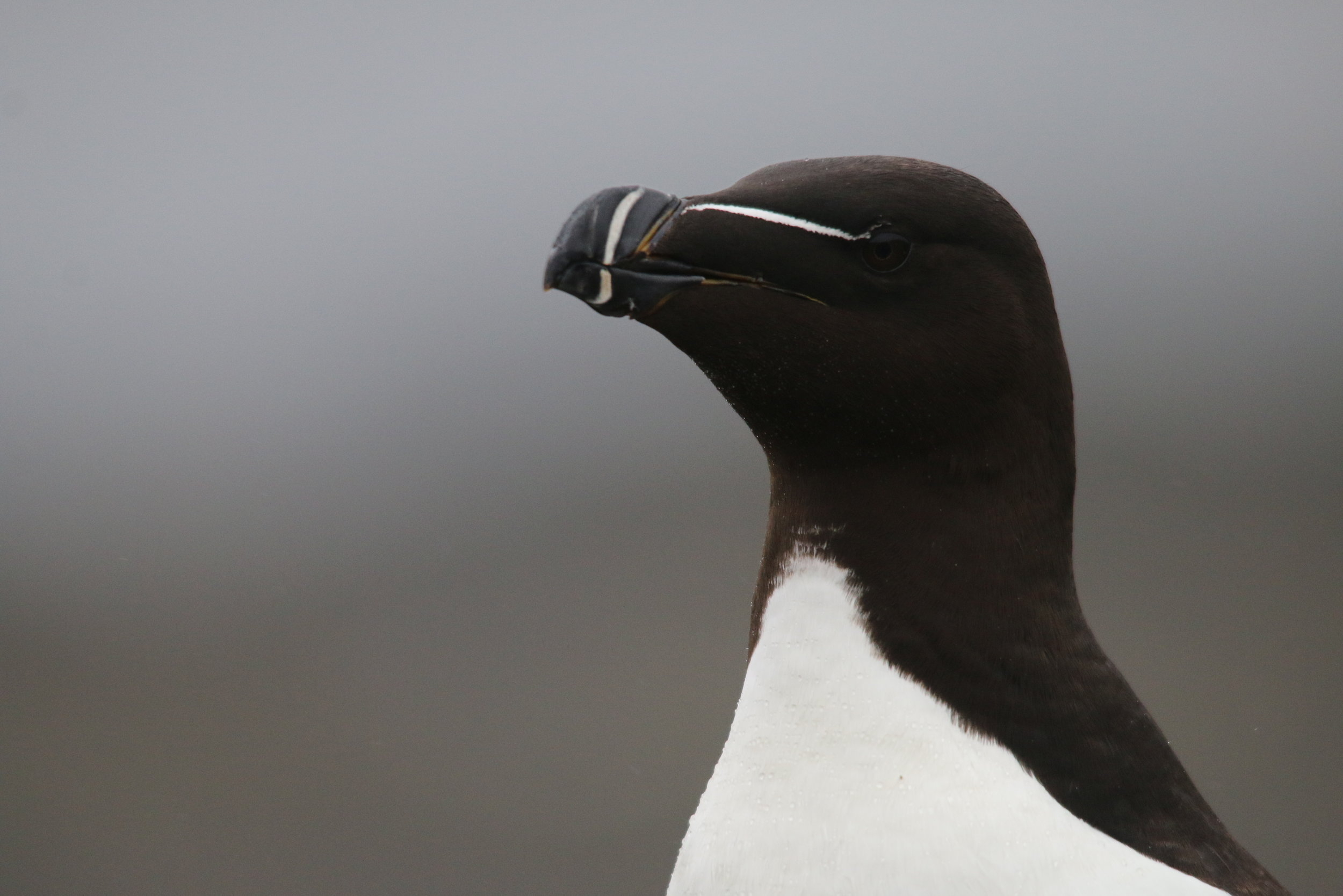 A razorbill showing off it's very distinctive bill!
