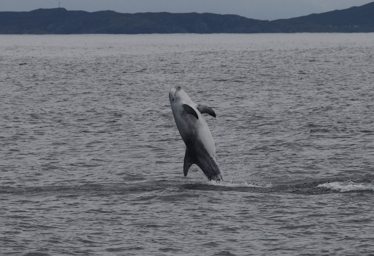 One of the Risso's dolphins breached repeatedly out of the water...