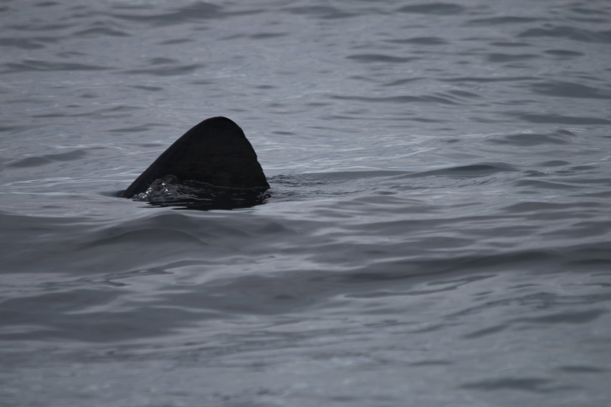 A basking shark fin breaking the surface