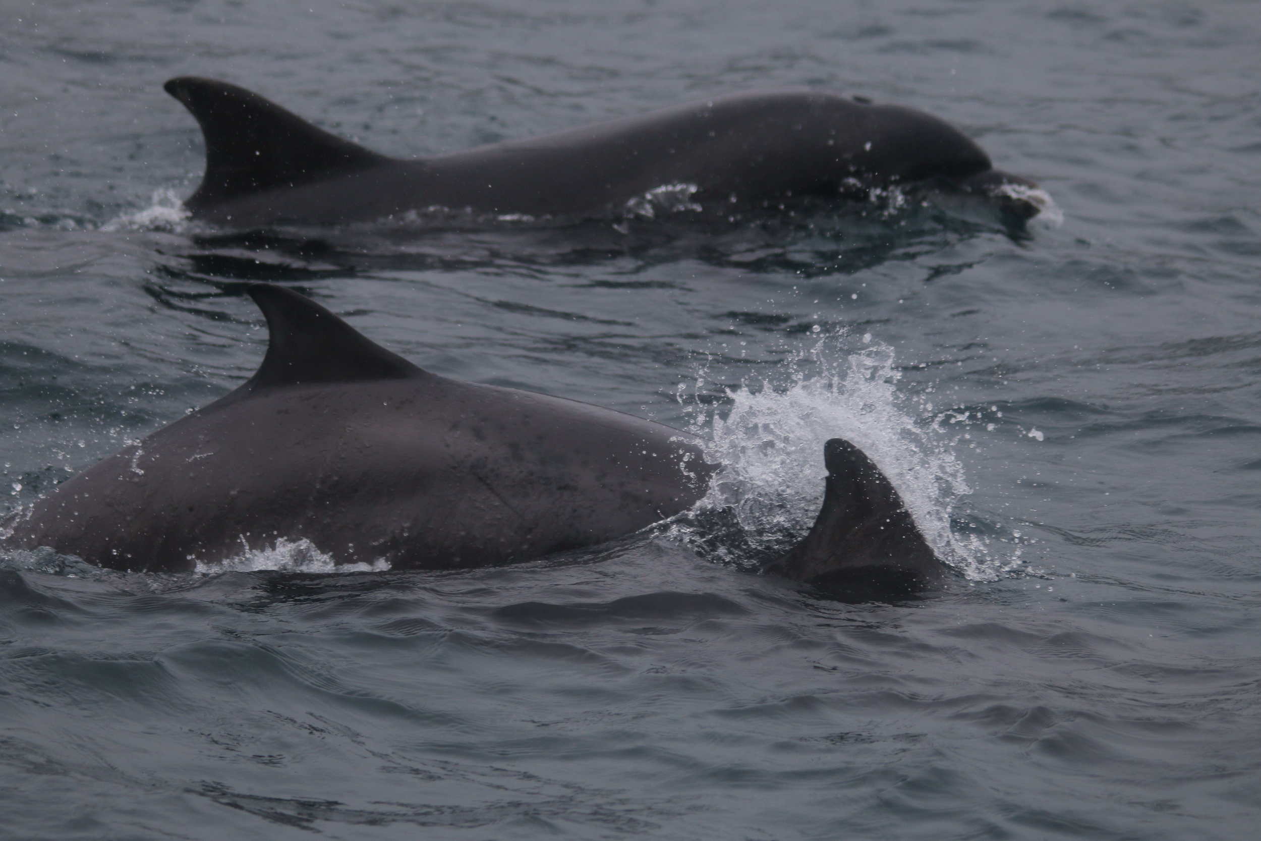 """Bottlenose dolphins from the Sound of Barra community, more fondly known as the """"Barra Boys"""" until they had babies!"""