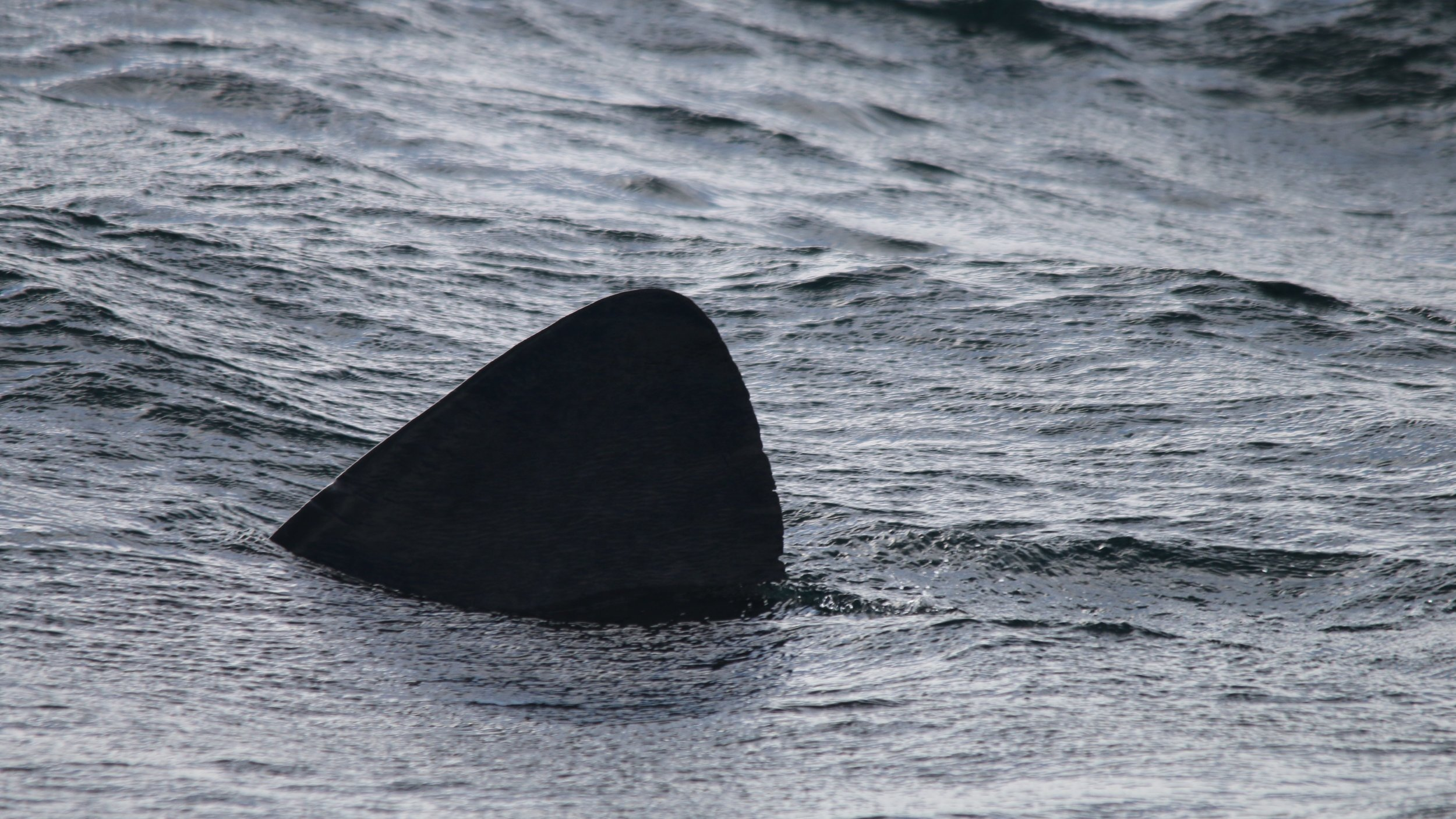 A basking shark, seen on our approach to Rum
