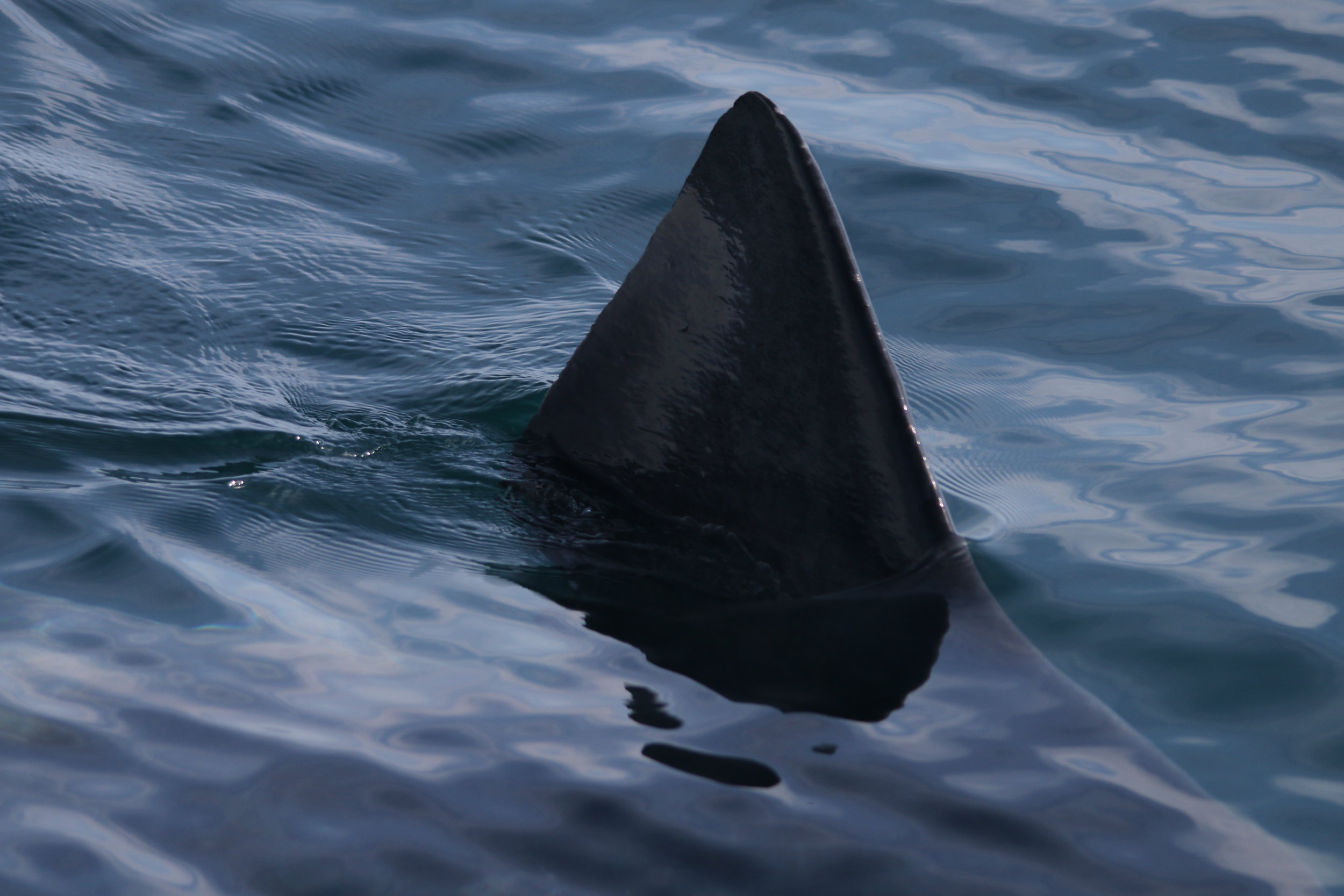 A basking shark swam right past the stern of the boat!
