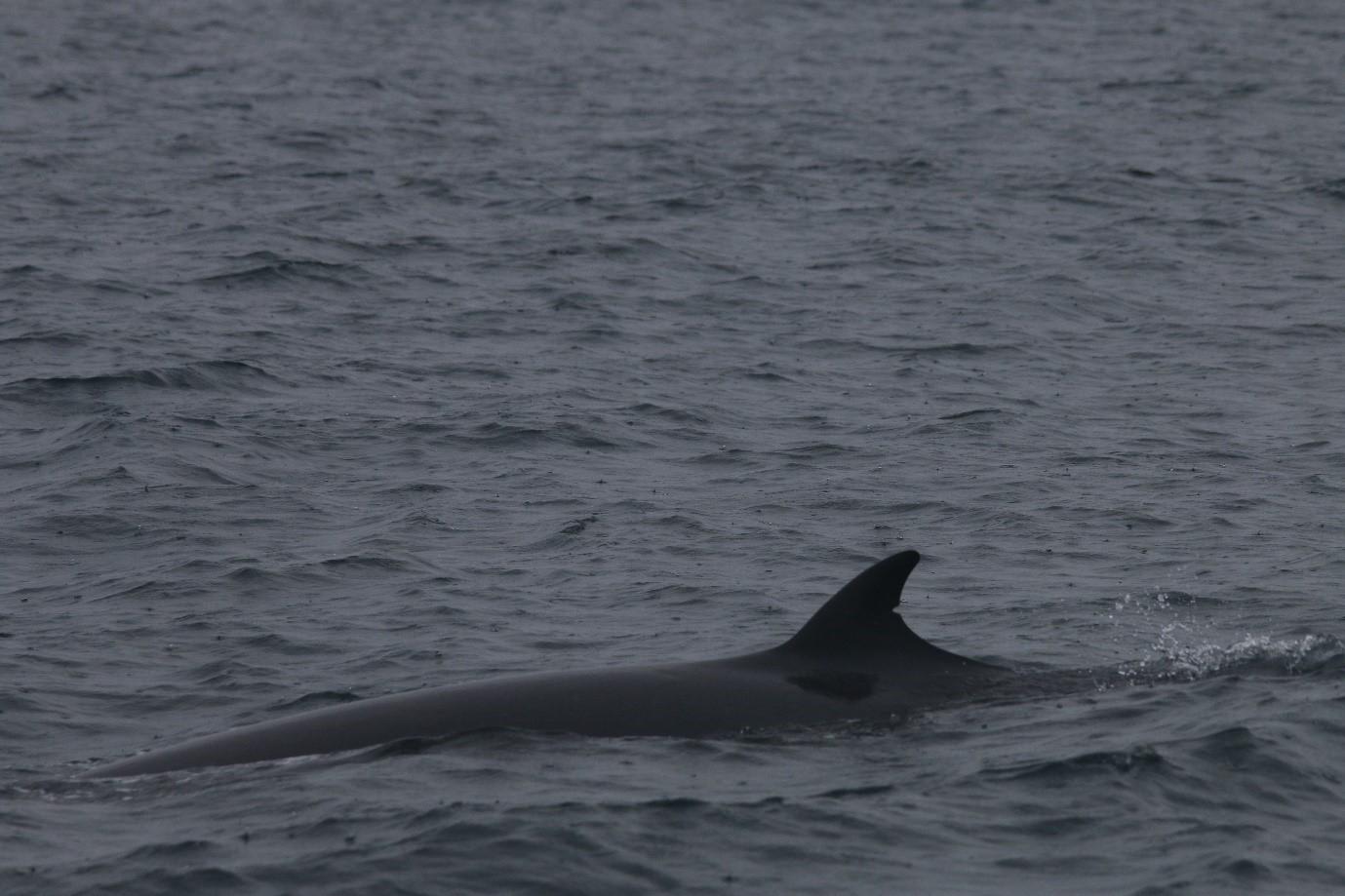One of the feeding minke whales encountered across the minch