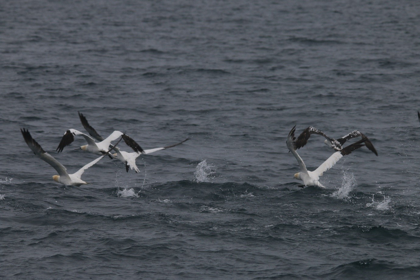 Some of the hundreds of gannets sighted