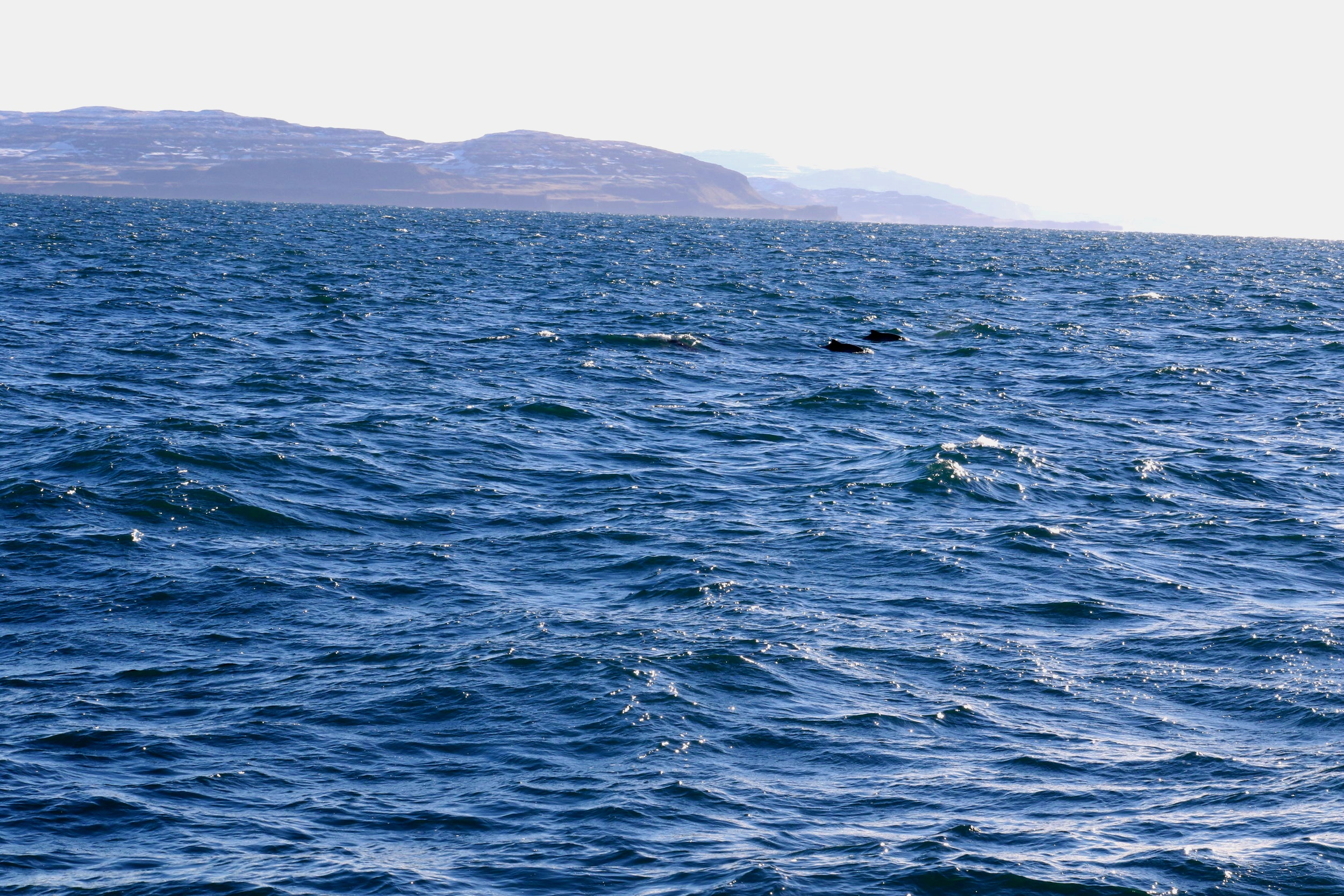 Some of the harbour porpoise seen on this survey