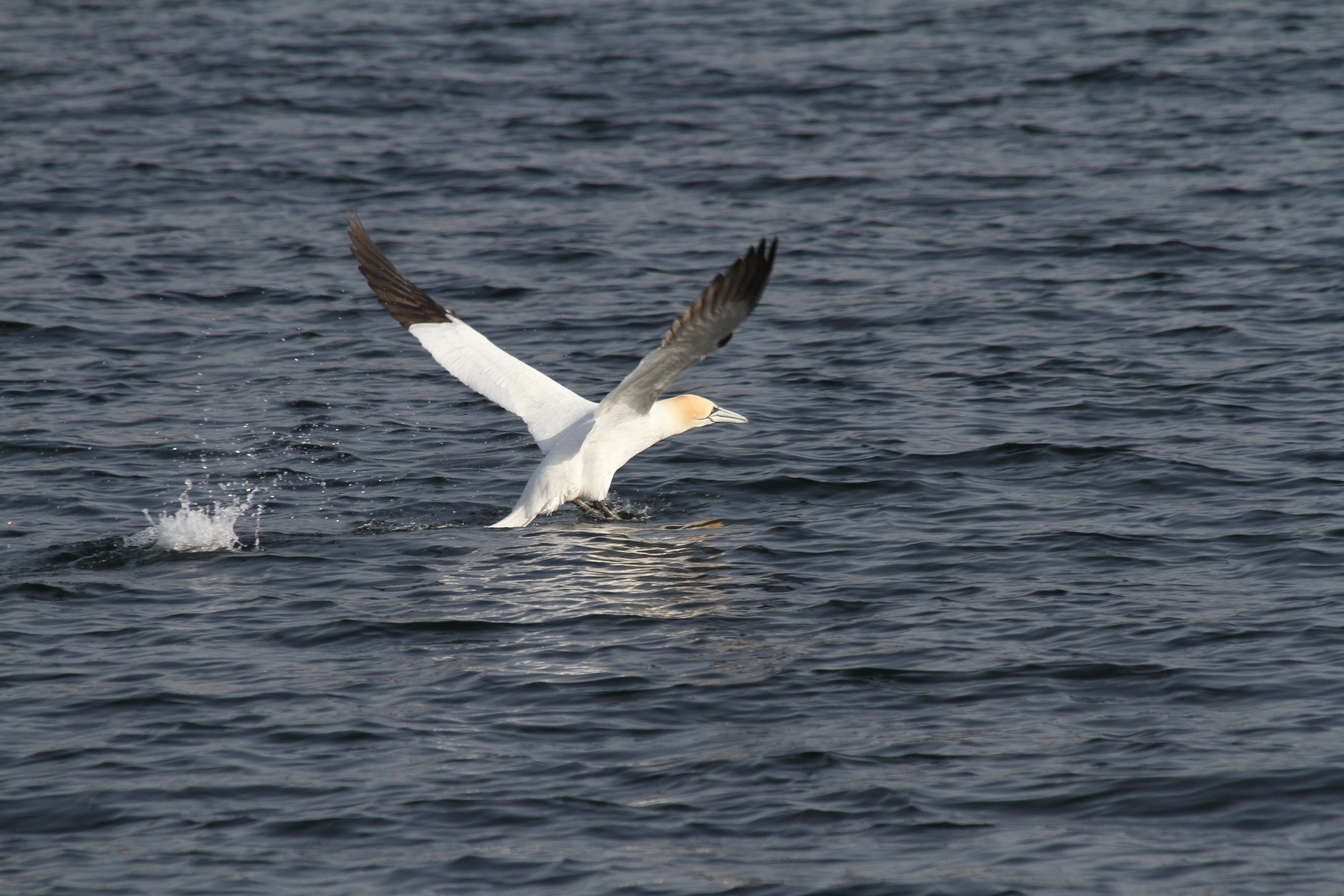 One of the many gannets seen on the survey