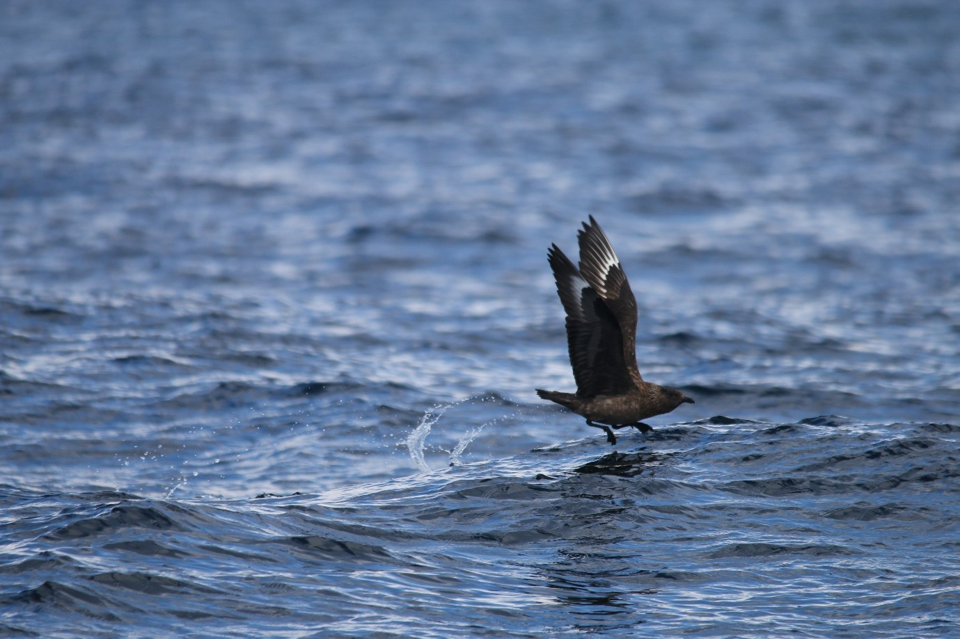 A skua on the wing