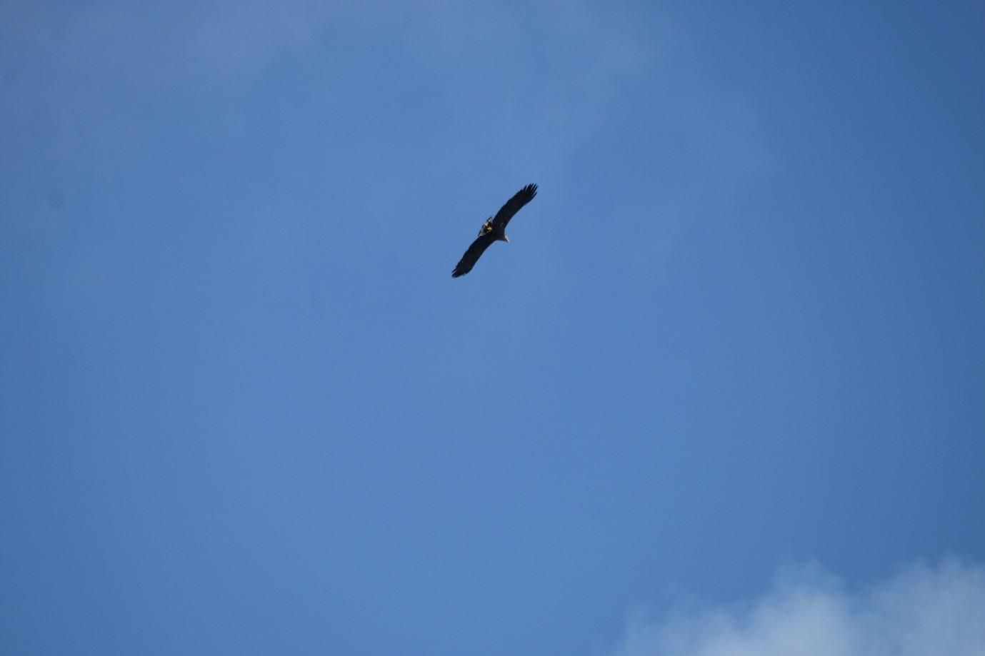 A soaring eagle against the blue sky