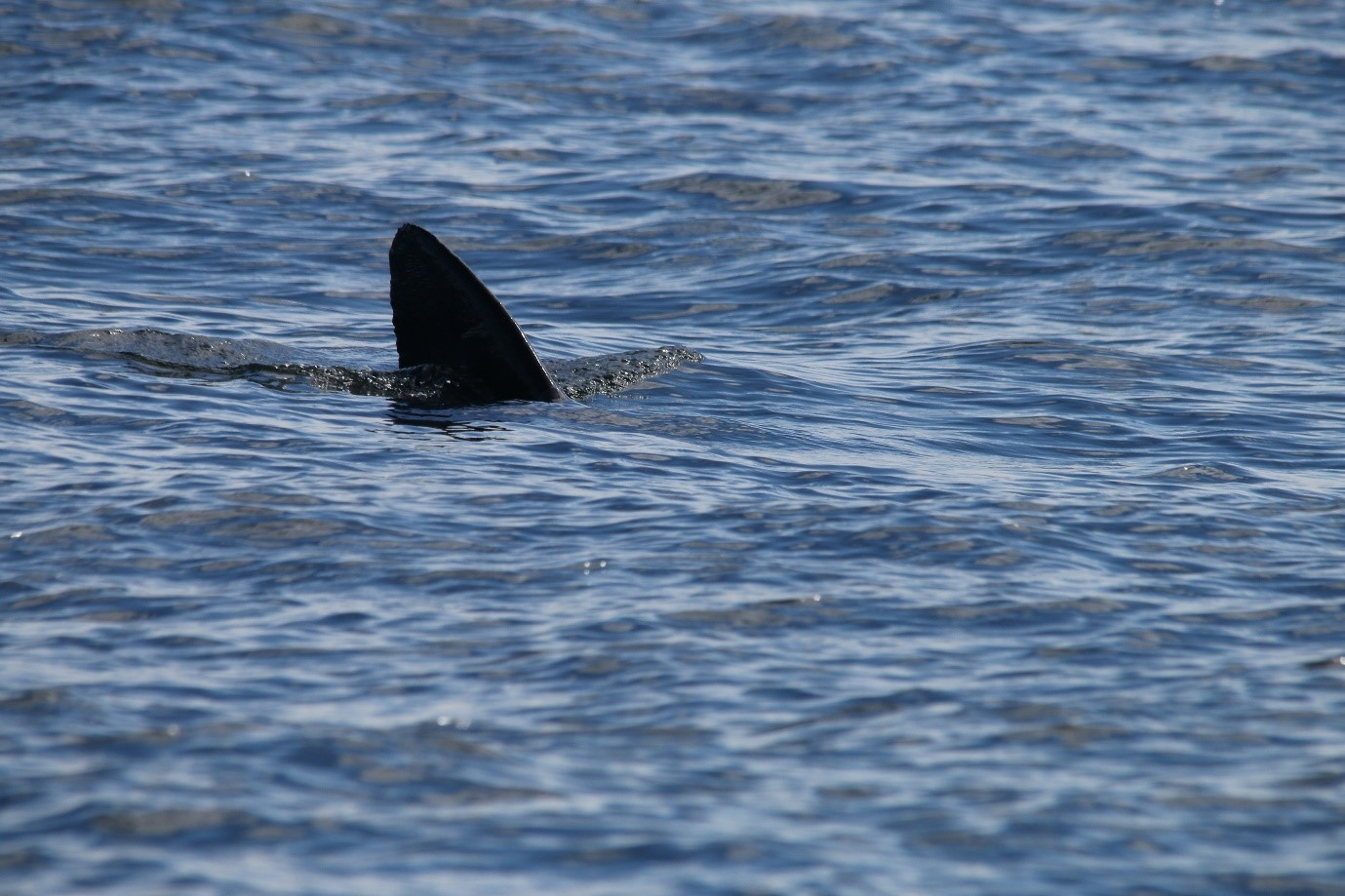 One of the basking sharks that swam past  Silurian