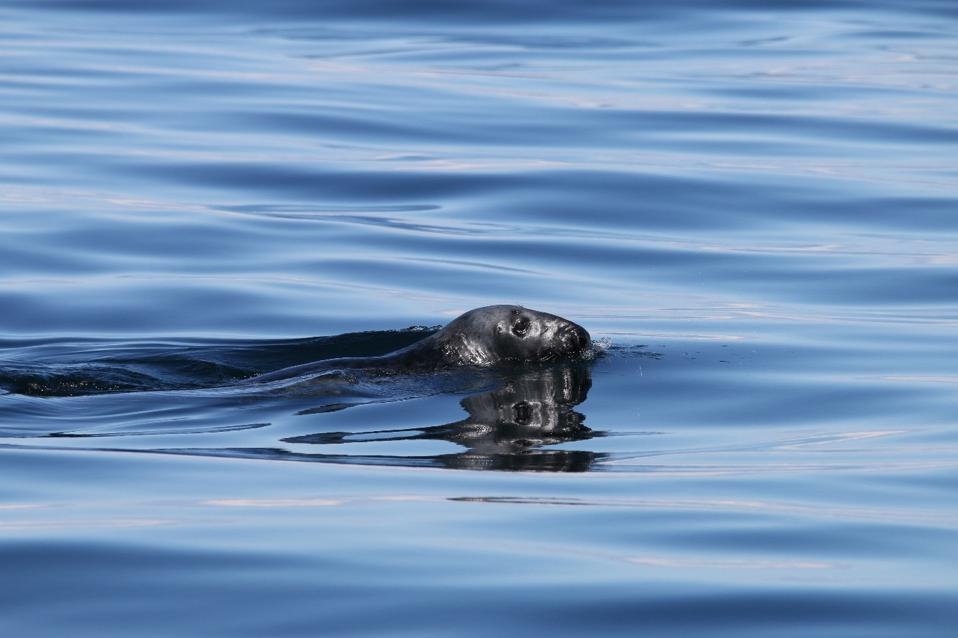 A grey seal, this species is only found in the Northern Atlantic