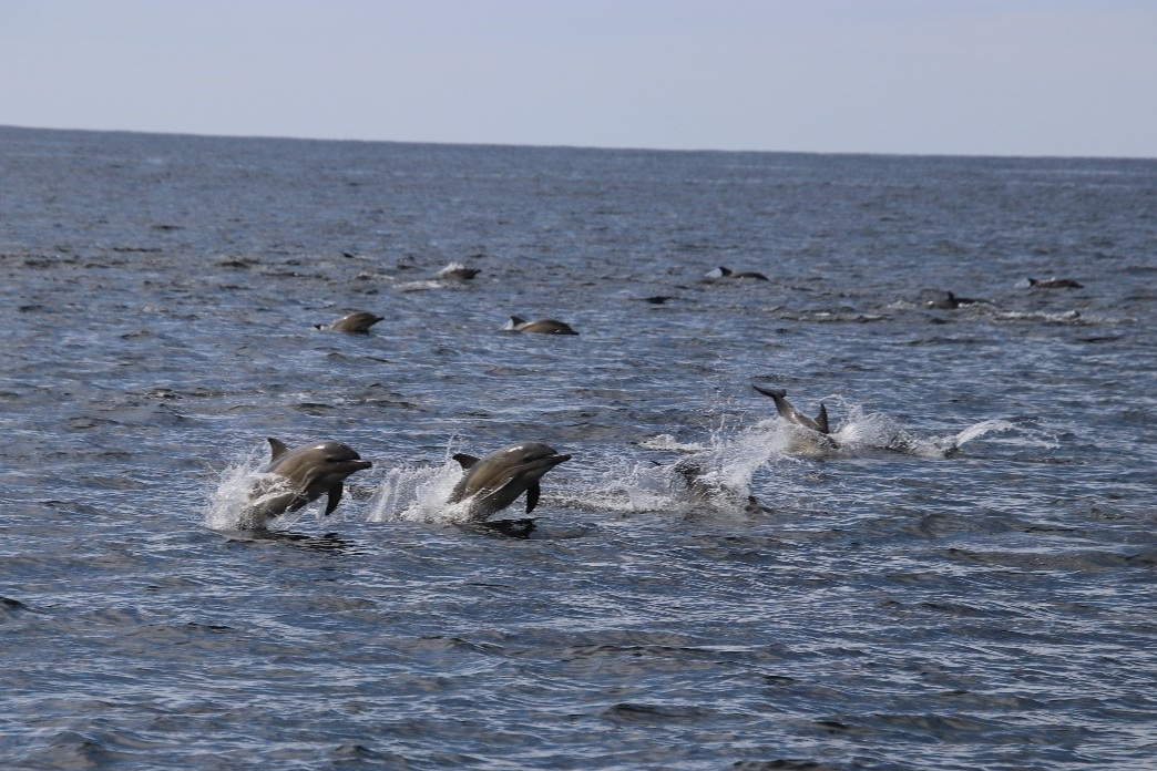 A pod of common dolphins break the surface
