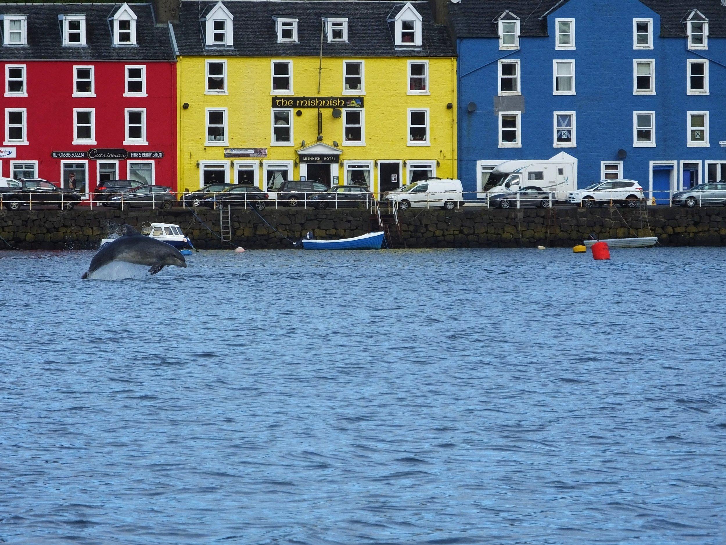 Bottlenose dolphin in Tobermory Bay, Isle of Mull © HWDT/Karen Denoon