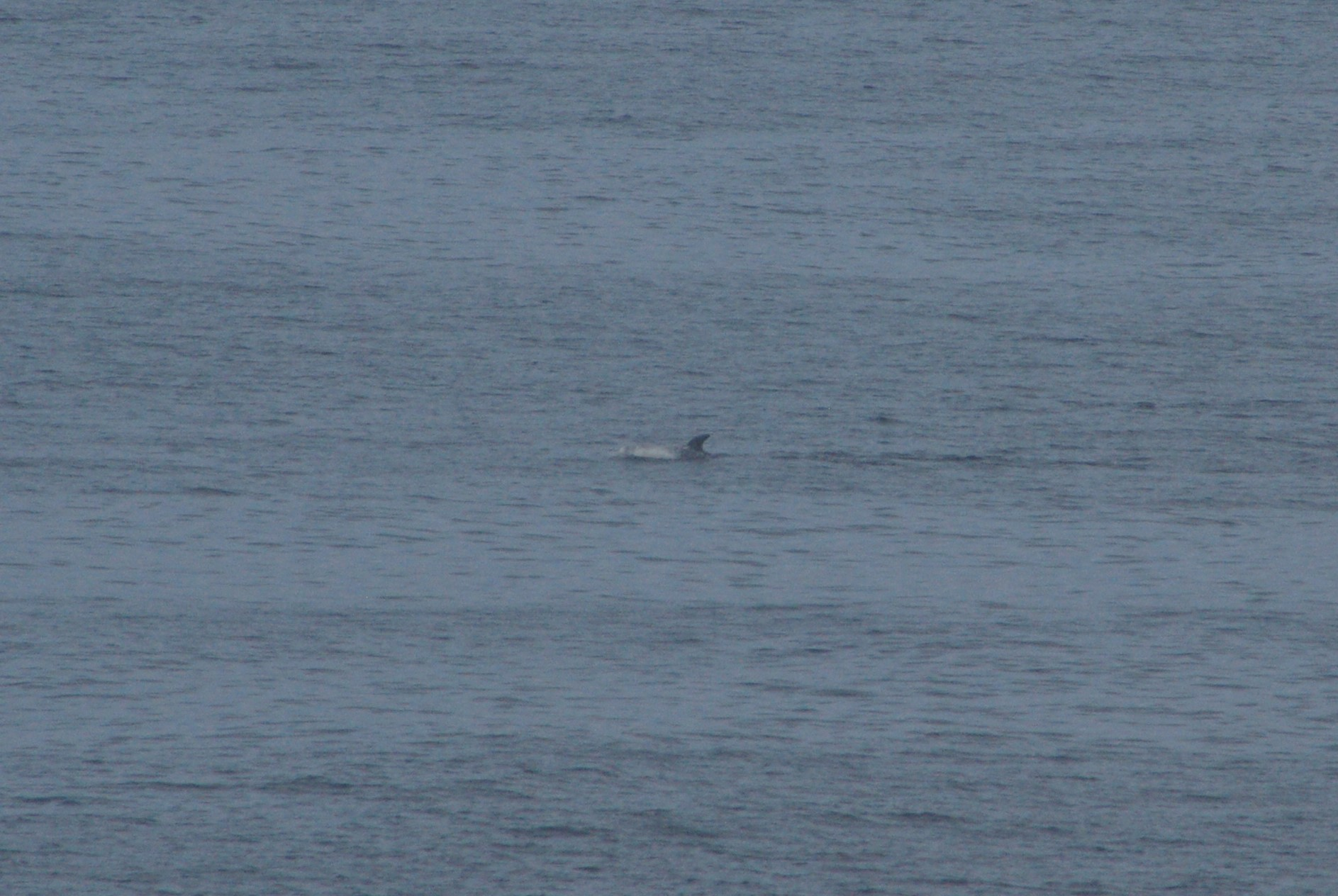 Yes, trust me, that blob in the middle is a Risso's dolphin