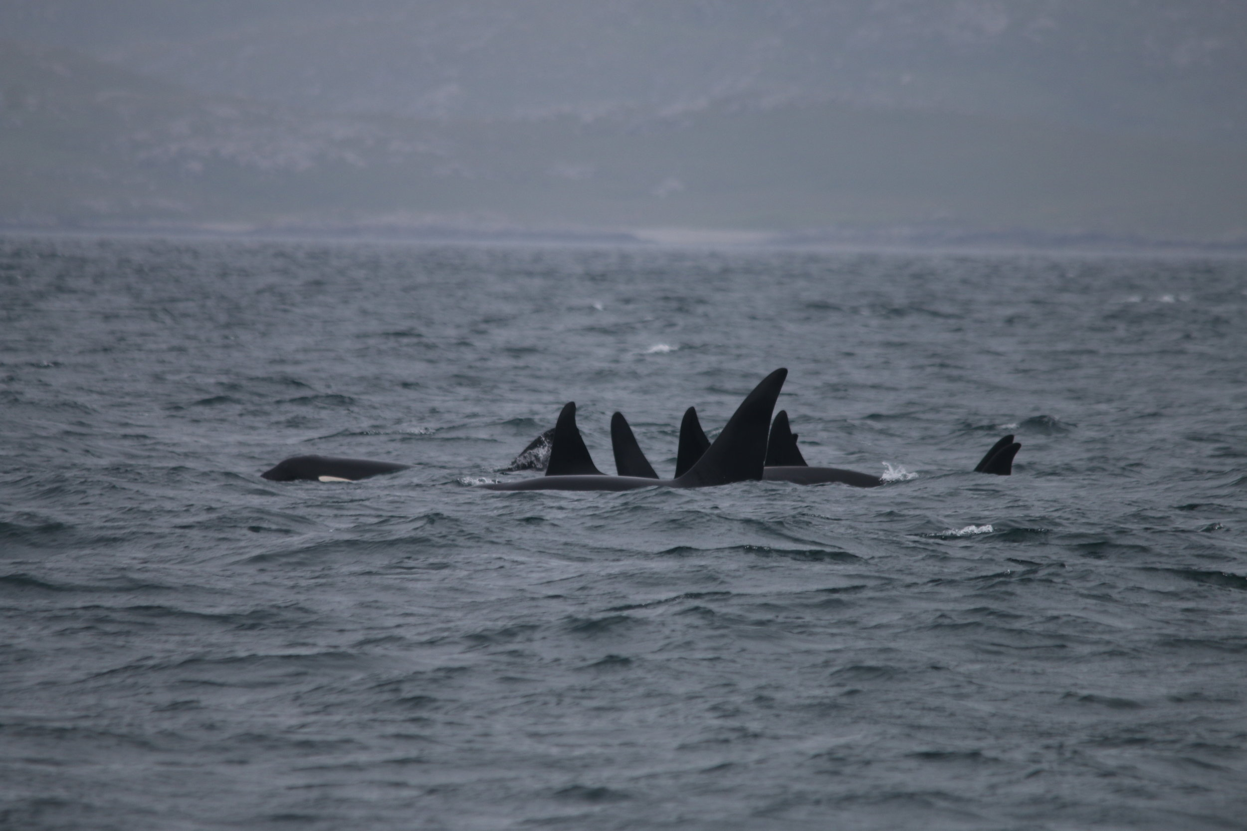 The mystery group of nine killer whales spotted on Silurian near Vatersay, June 2018