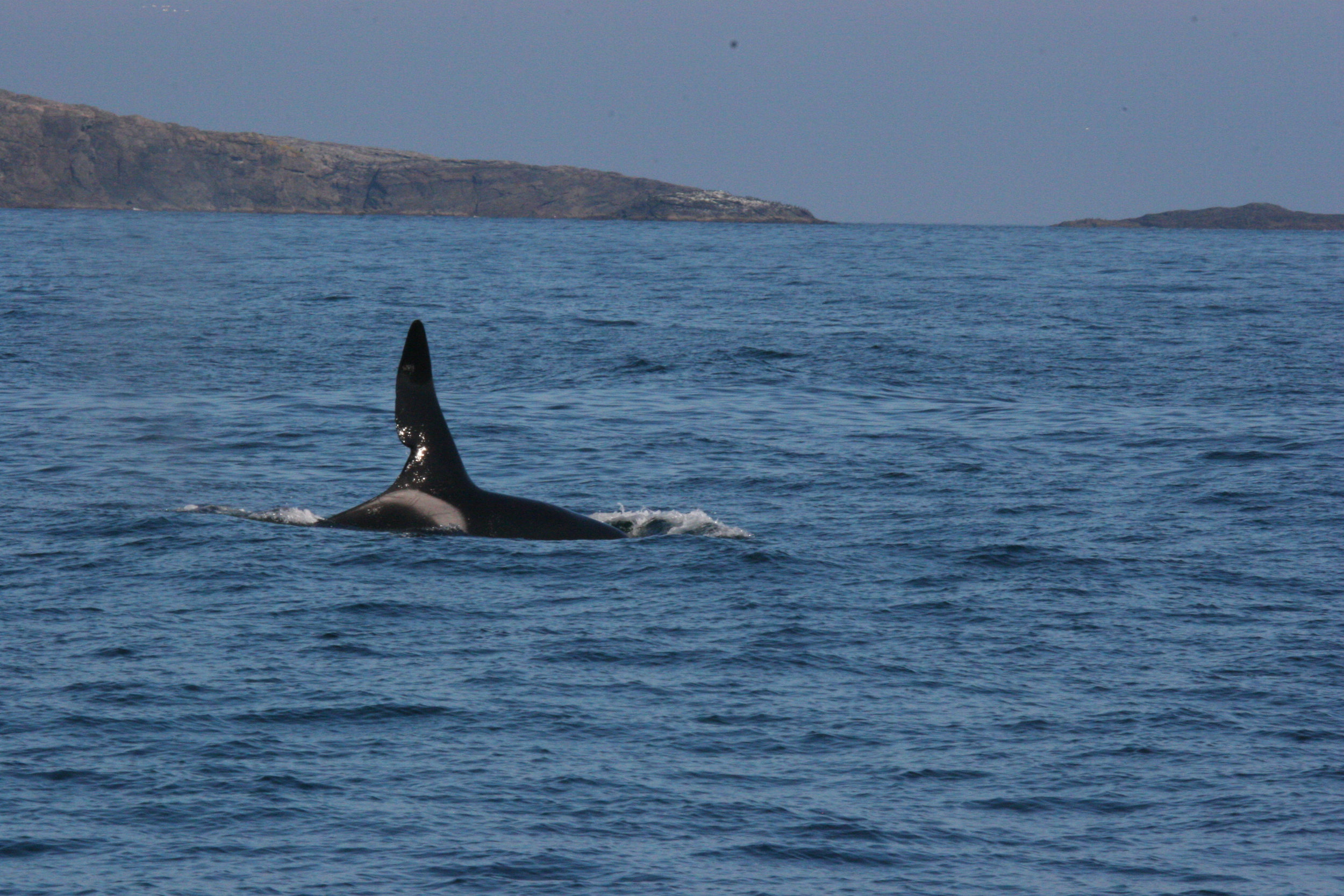 the unmistakable dorsal fin of John Coe, one of the males in the West Coast Community