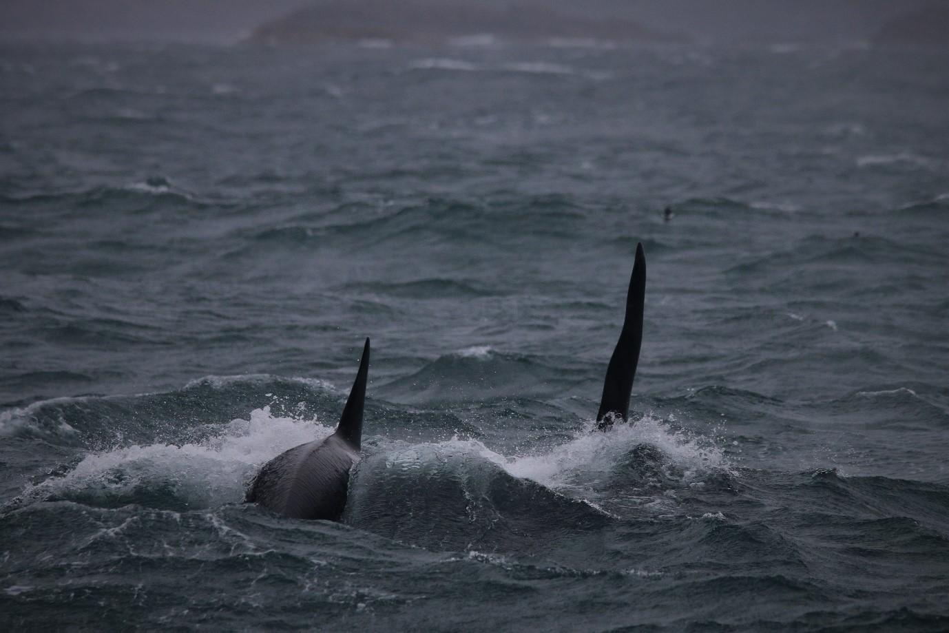 killer whale dorsal fins.jpg