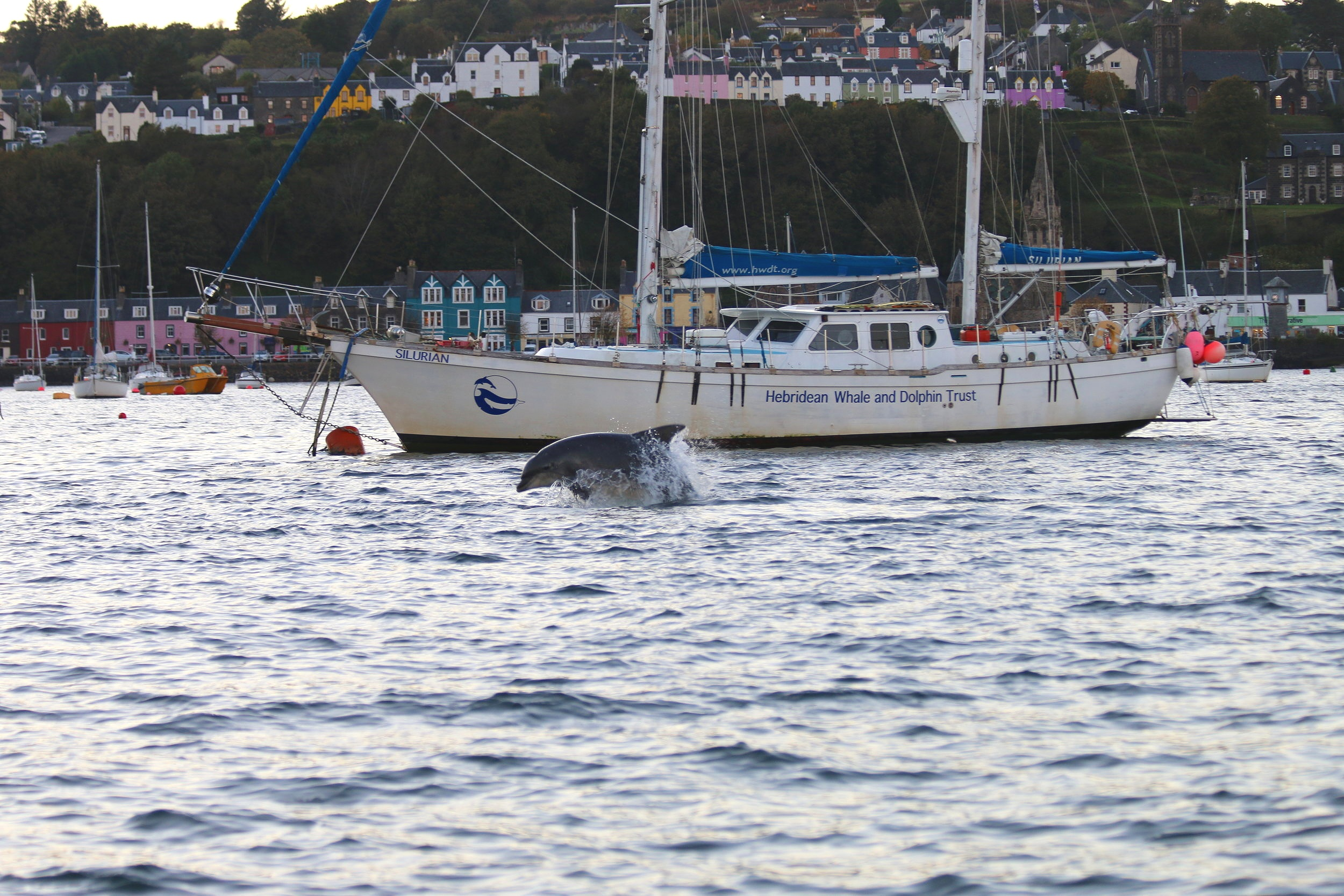 A bottlenose dolphin breaks the surface in front of our research yacht,  Silurian