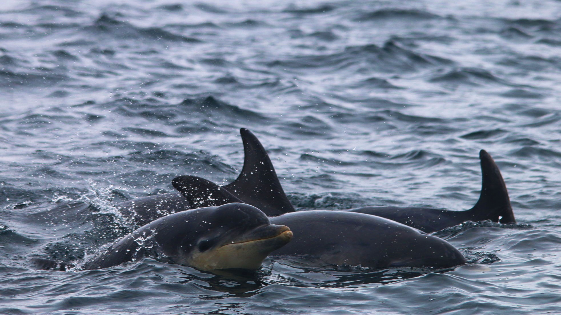 Scottish bottlenose dolphins are the largest in the world!