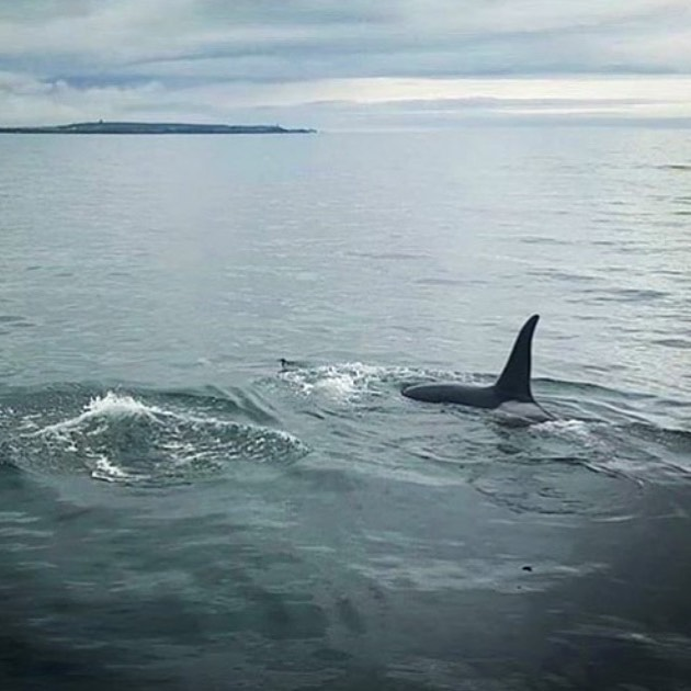 Check out this cracking shot from @jakosty - the distinctive dorsal fin of a killer whale, breaking the surface just off the coast of Lewis... - - - - - - - - - #hebrideanwhaletrail #hwdt #wildlifewatching #whalewatching #scotlandhighlands #scotlandisnow #guardiantravelsnaps #bbcscotlandpics #natureblogger #scotland_ig #hiddenscotland #wildscotland #thisisscotland #visitscotland #lonelyplanet #getoutside #mylpguide #coastmagazine #scotsmagazine #calmac