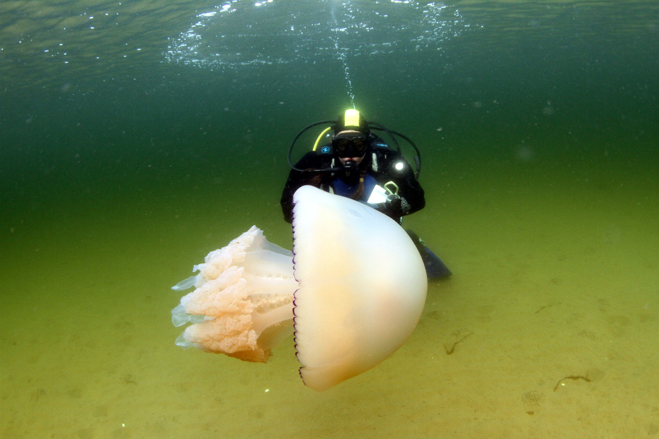Jenny diving with a barrel jellyfish. © COAST and Howard Wood