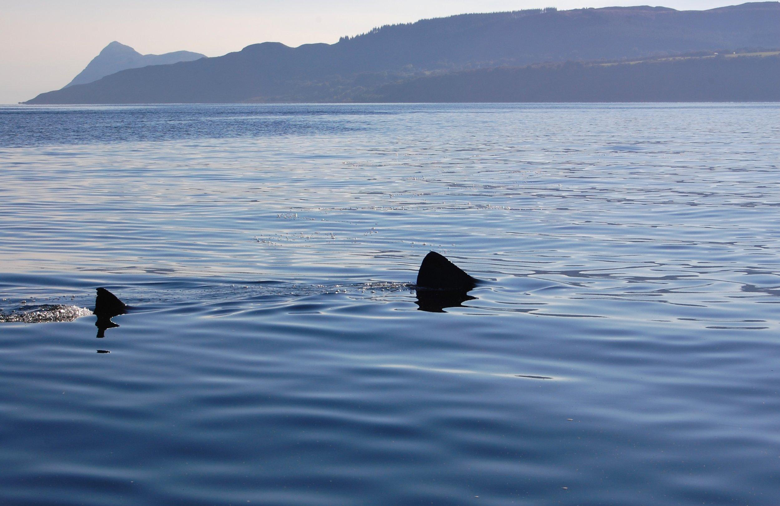 Basking shark. © Jenny Stark