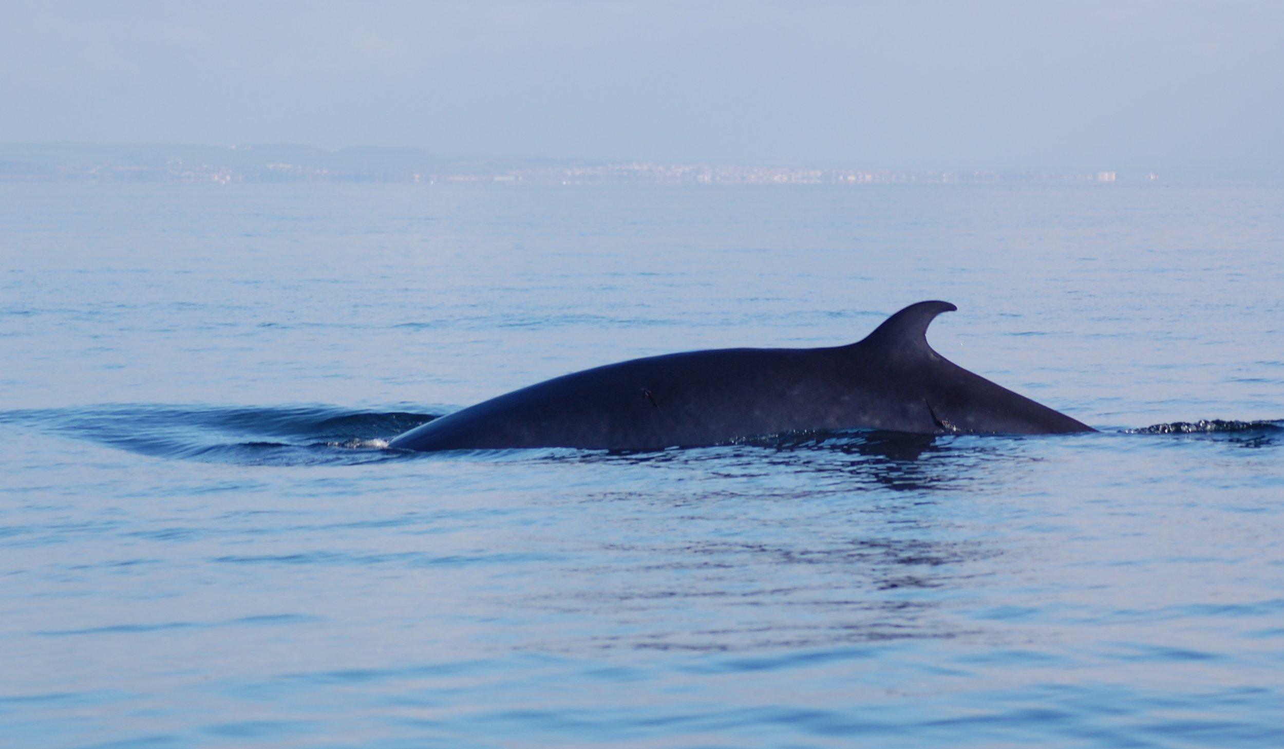 Minke whale. © Jenny Stark