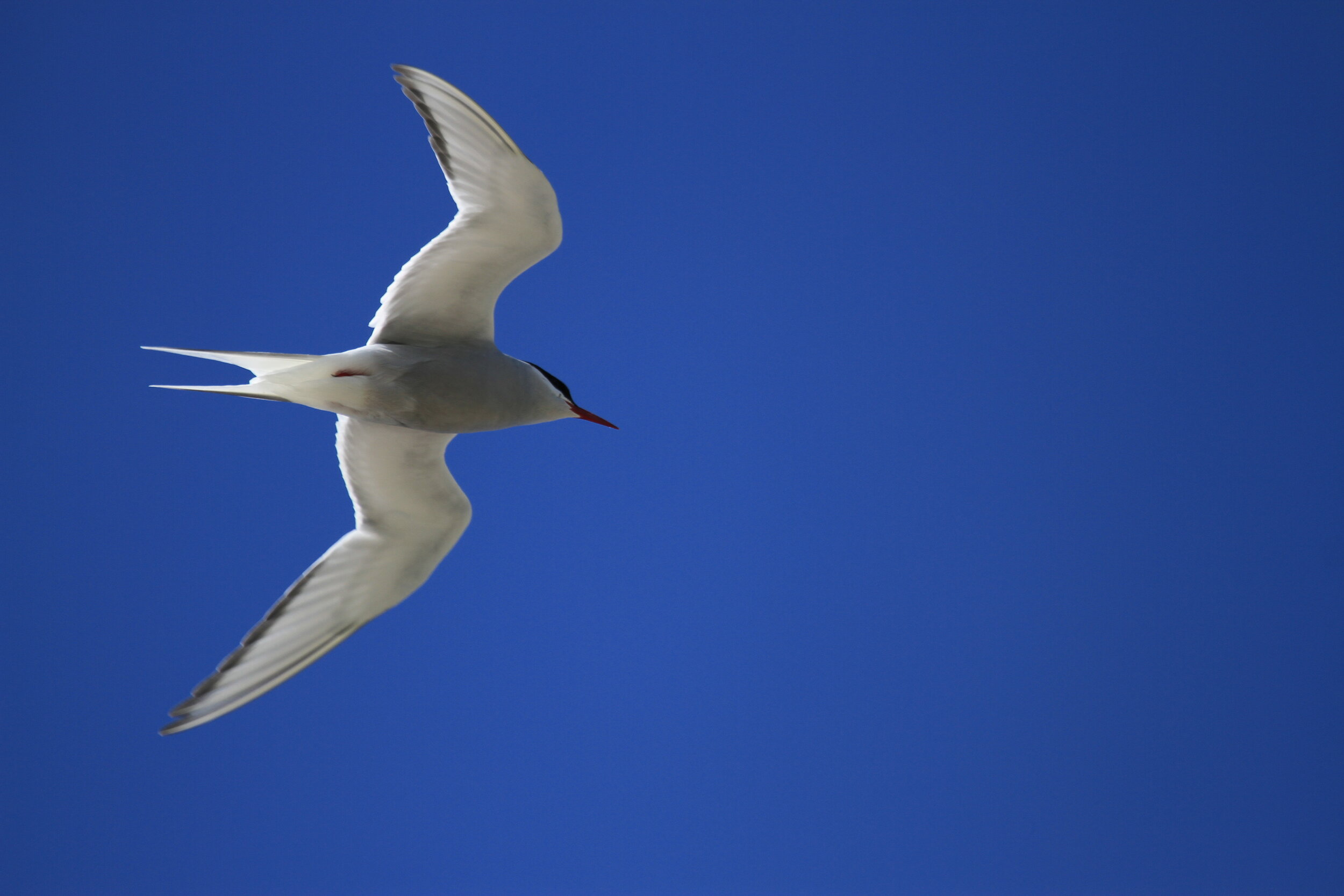 Arctic (pictured) and Little Terns both nest on Tiree.