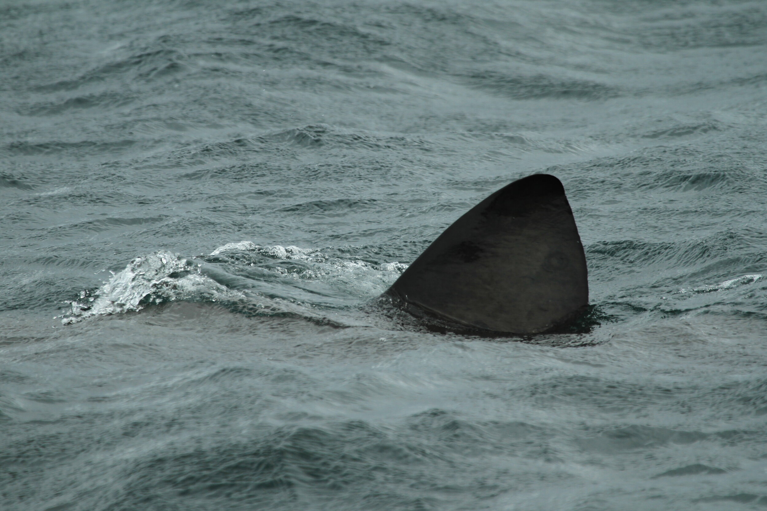 Basking Sharks can often be spotted from Hynish.