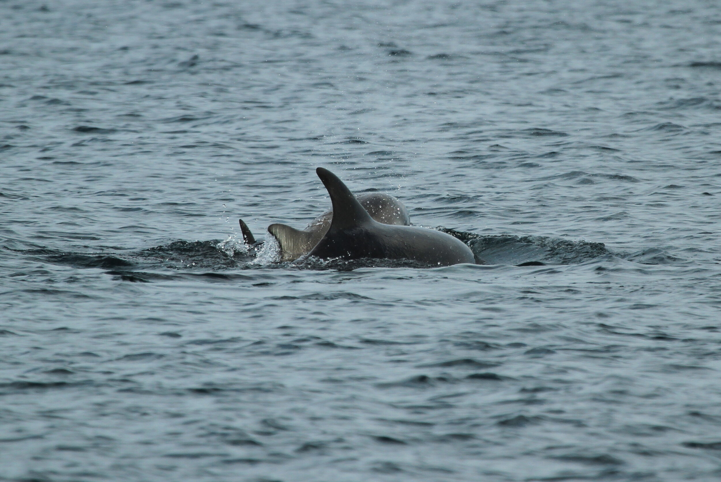 Bottlenose Dolphins are seen regularly around our island.