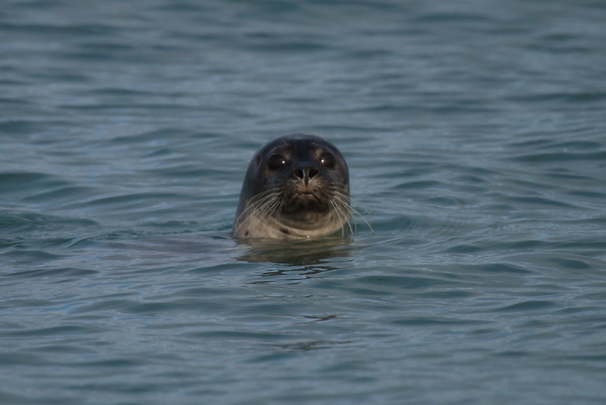 Common Seals like to take a long, hard look at beach-goers!